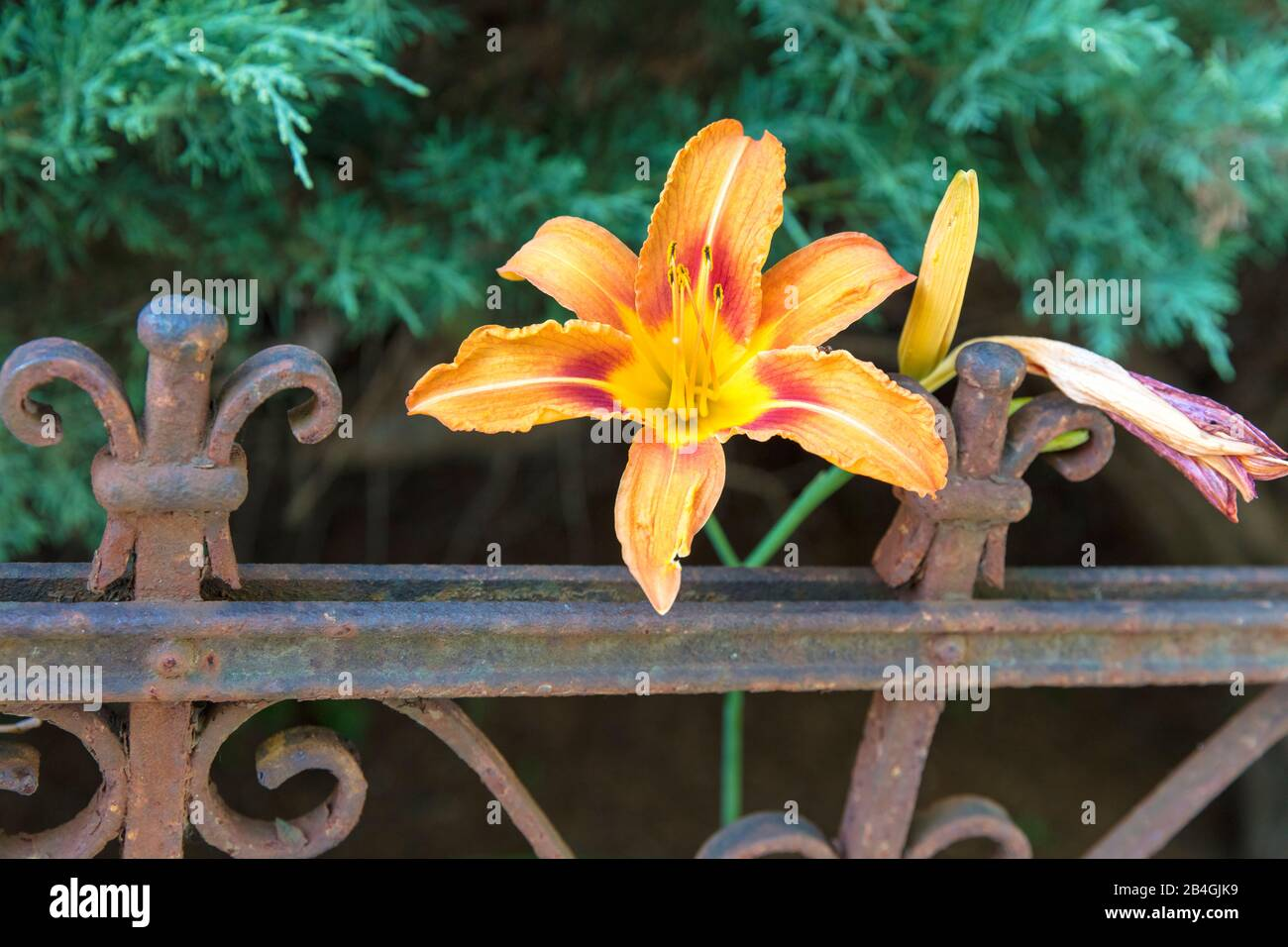 lily, flora, botany, plant, flowers, Wolfenbüttel, Lower Saxony, Germany, Europe Stock Photo