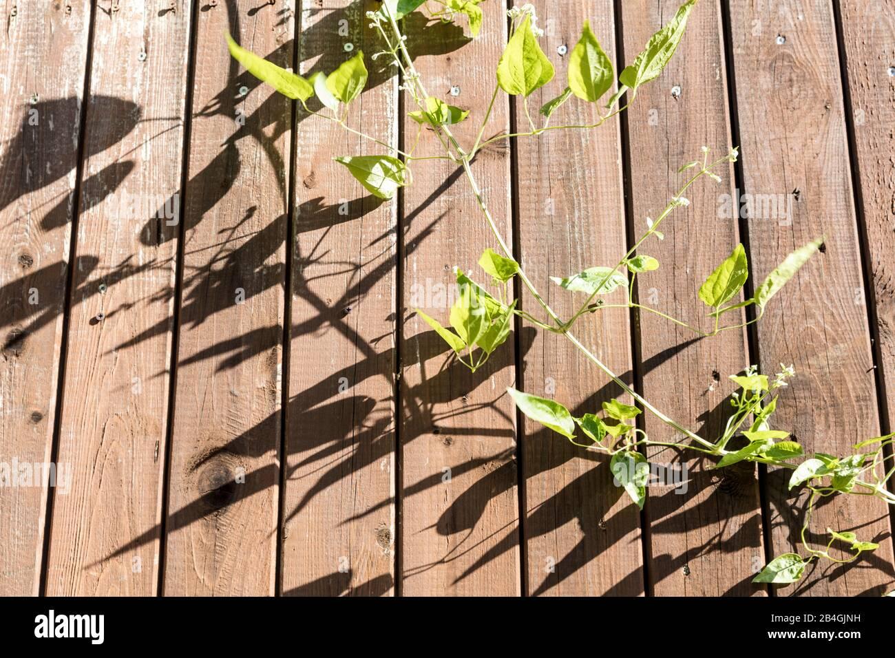 Leaves, tendrils, wooden wall, botany, plant, Wolfenbüttel, Lower Saxony, Germany, Europe Stock Photo