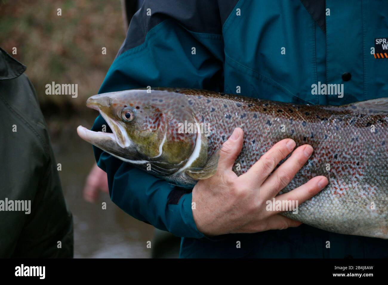 Germany, Saxony-Anhalt, Zerbst, man holds wild salmon in his arms, resettlement project, Institute for Inland Fisheries Potsdam eV (IfB) Stock Photo