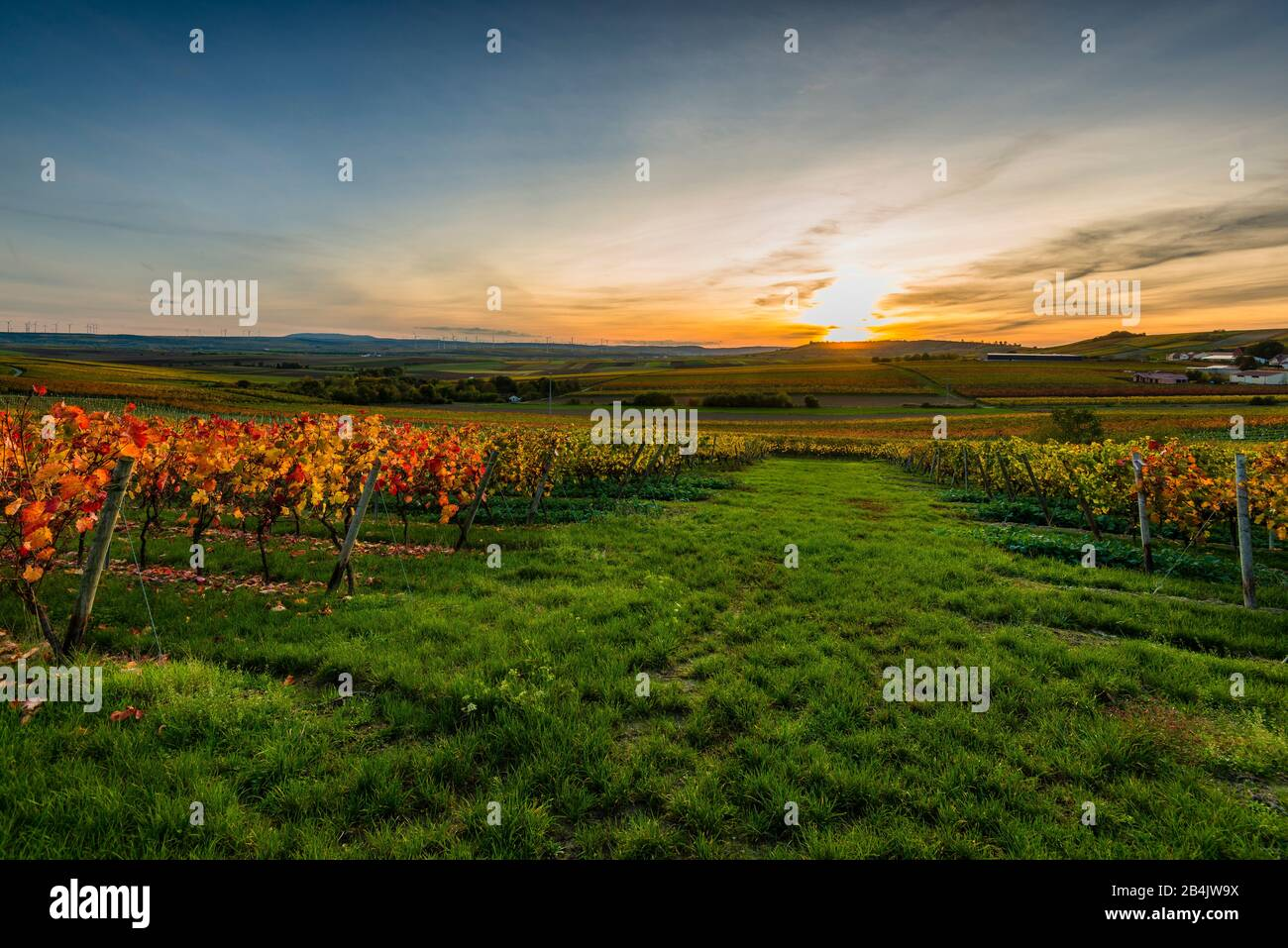 Autumn in the vineyard in a gently undulating landscape in Rheinhessen, rich bright colors in October, evening atmosphere with warm light, golden October at its best, with sunset Stock Photo