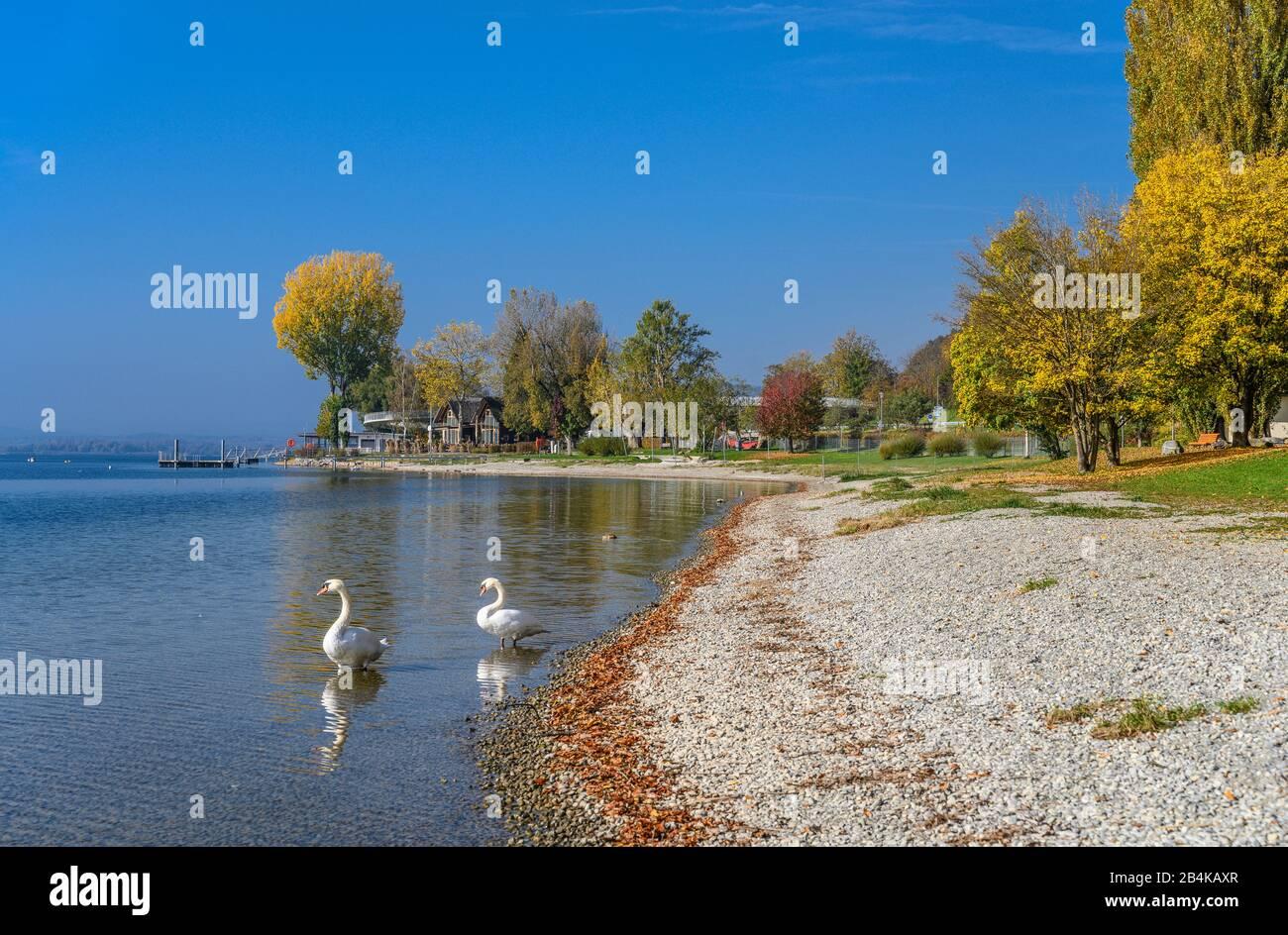 Deutschland, Baden-Württemberg, Bodensee, Sipplingen, Seeufer, Schwäne Stock Photo