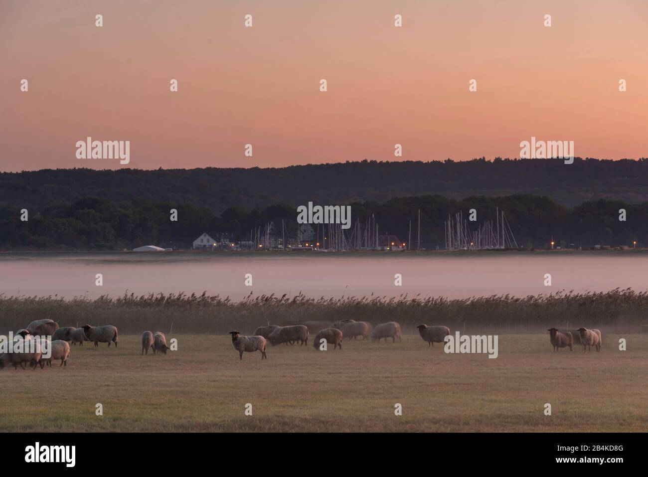 Germany, Mecklenburg-Vorpommern, Hiddensee, view of a meadow with sheep, fog veil, harbor monastery, sailboats. Stock Photo