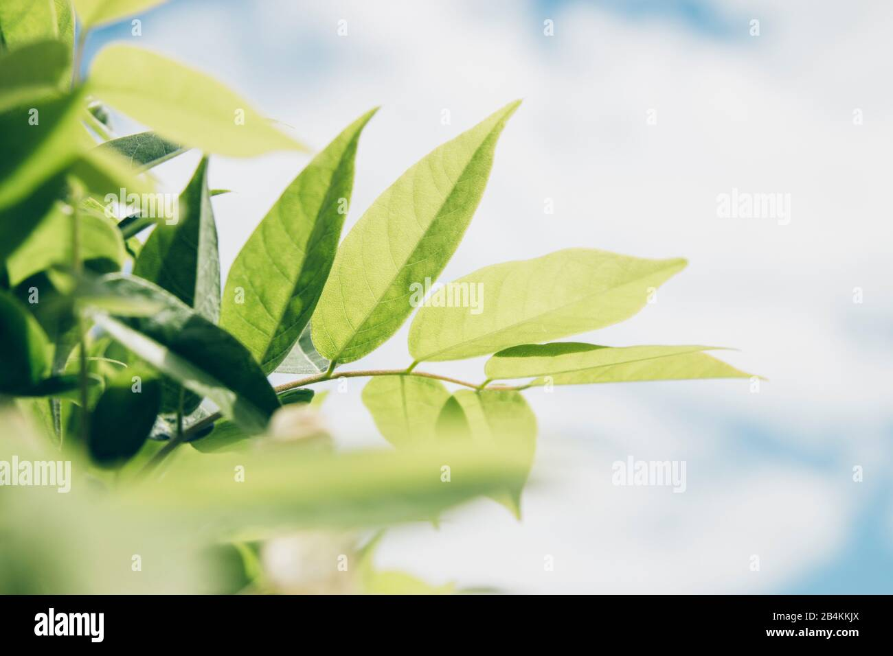Close Up Green Wisteria Leaves Stock Photos Close Up Green