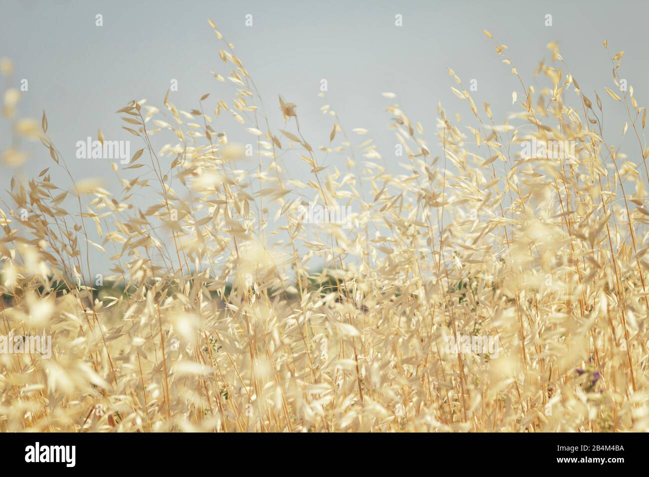 Common wild oat [Avena fatua] Stock Photo