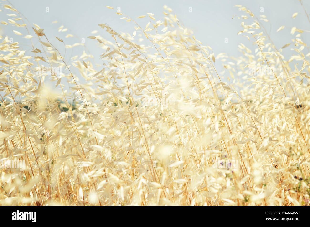 Common wild oat [Avena fatua] Stock Photo