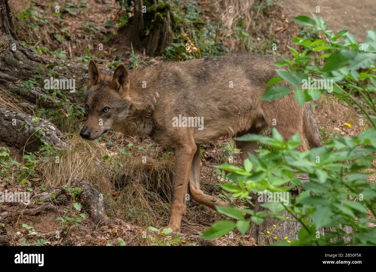 Eurasian wolf, Canis lupus lupus, in woodland, in semi-captivity; Pyrenees. Spain. Stock Photo
