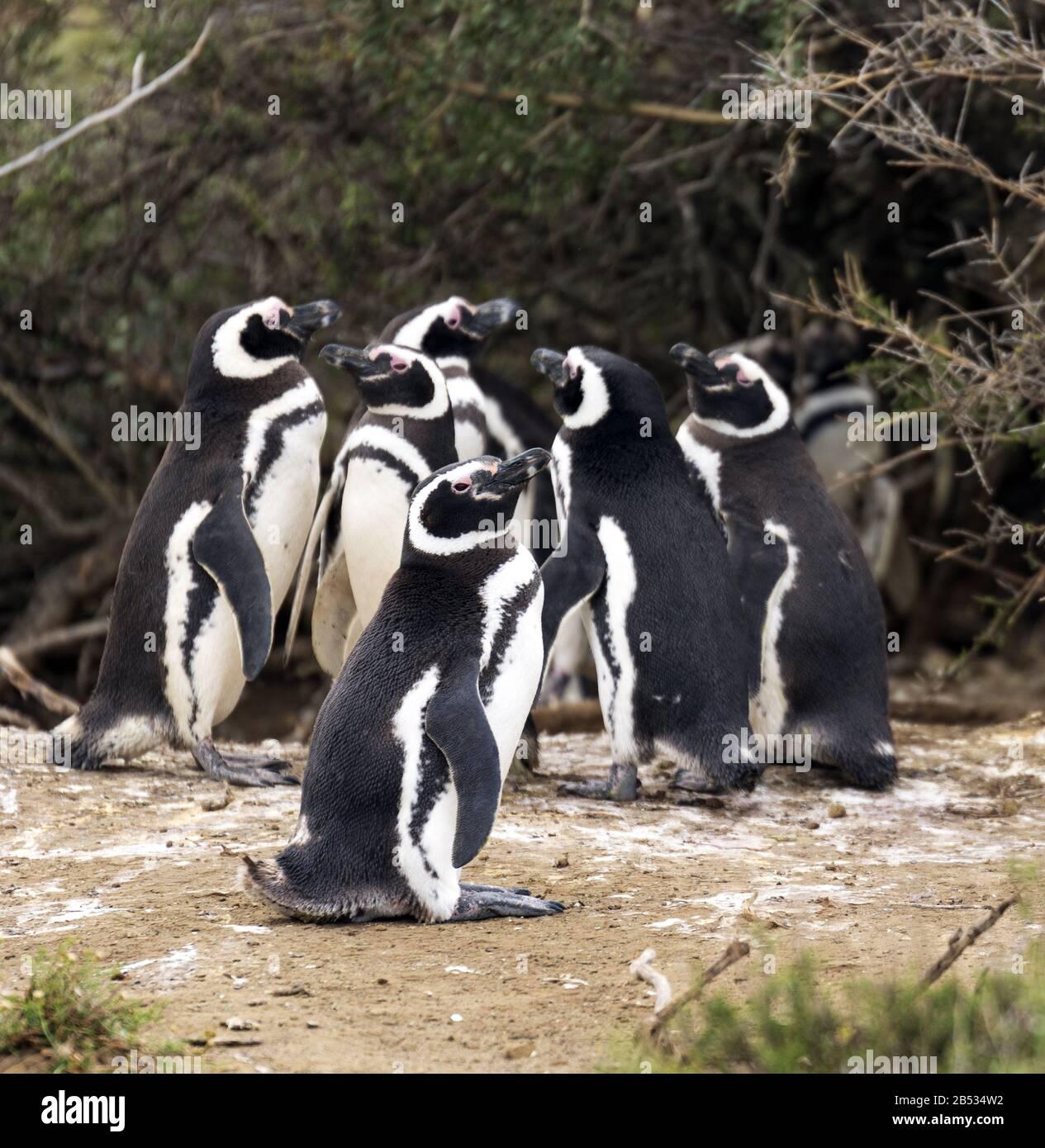 Magellanic penguins, Parque Nacional Monte Leon, Patagonia Argentina Stock Photo