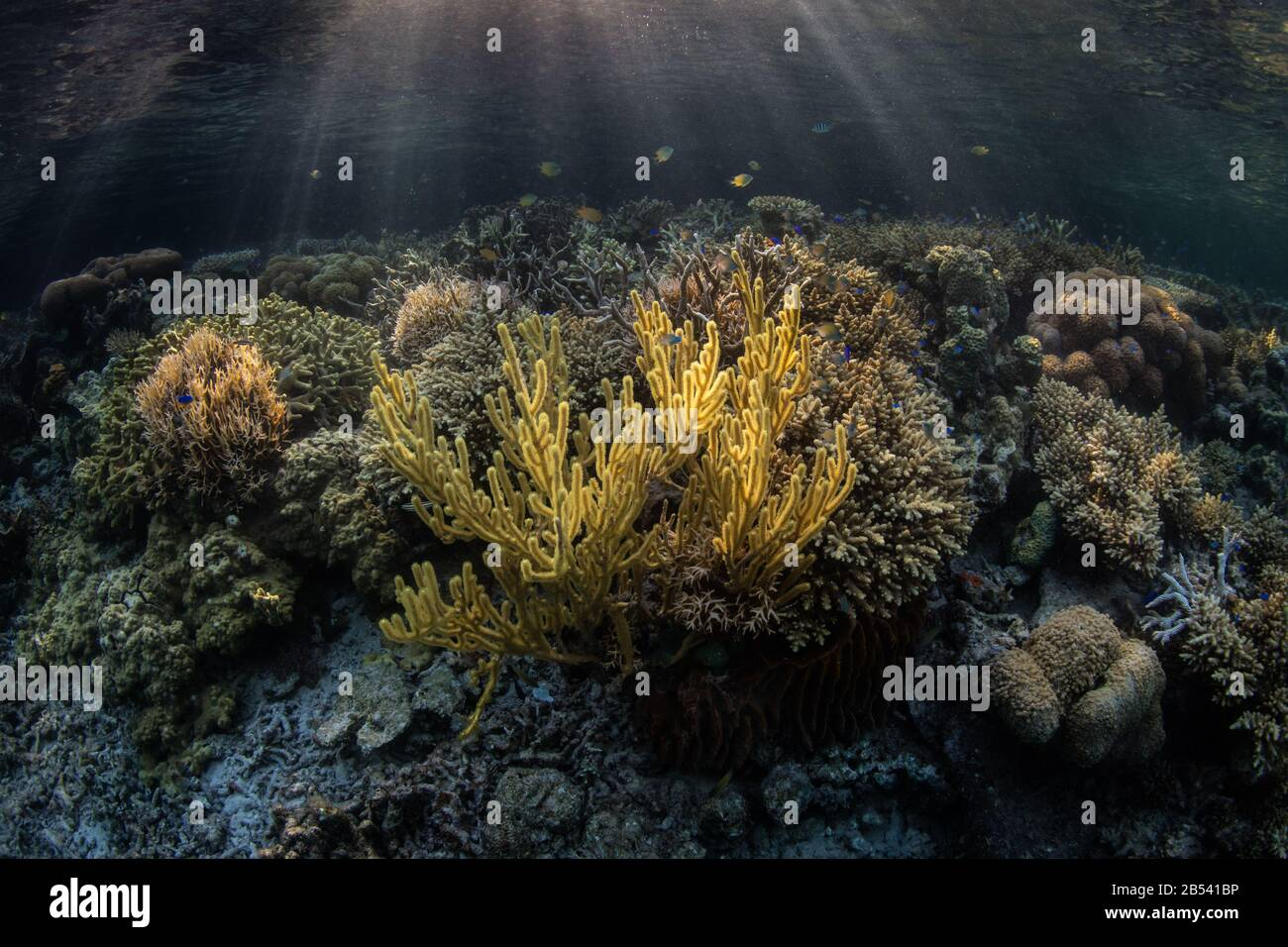 A gorgonian and many other types of coral grow in the shallows near a mangrove forest in Raja Ampat. This area is known for high marine biodiversity. Stock Photo