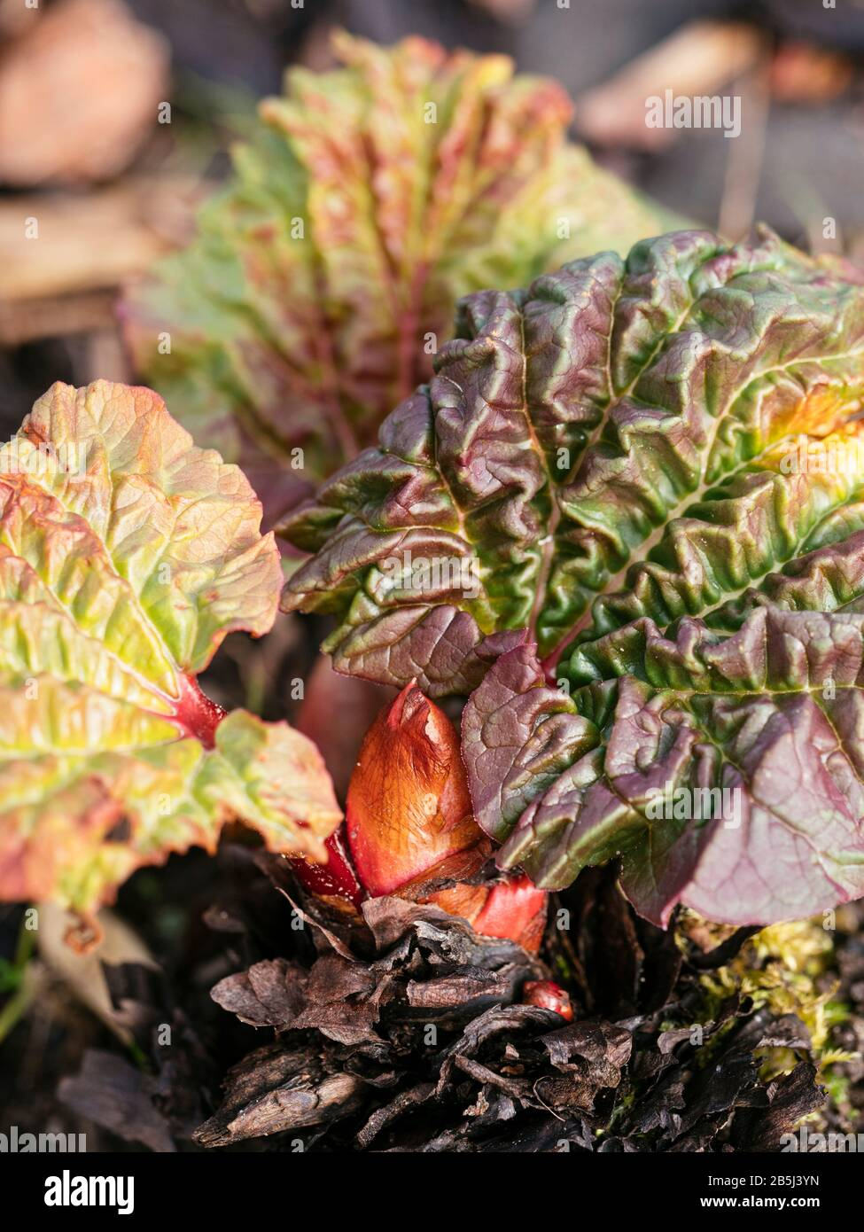 Rhubarb stalks appearing in March. Stock Photo