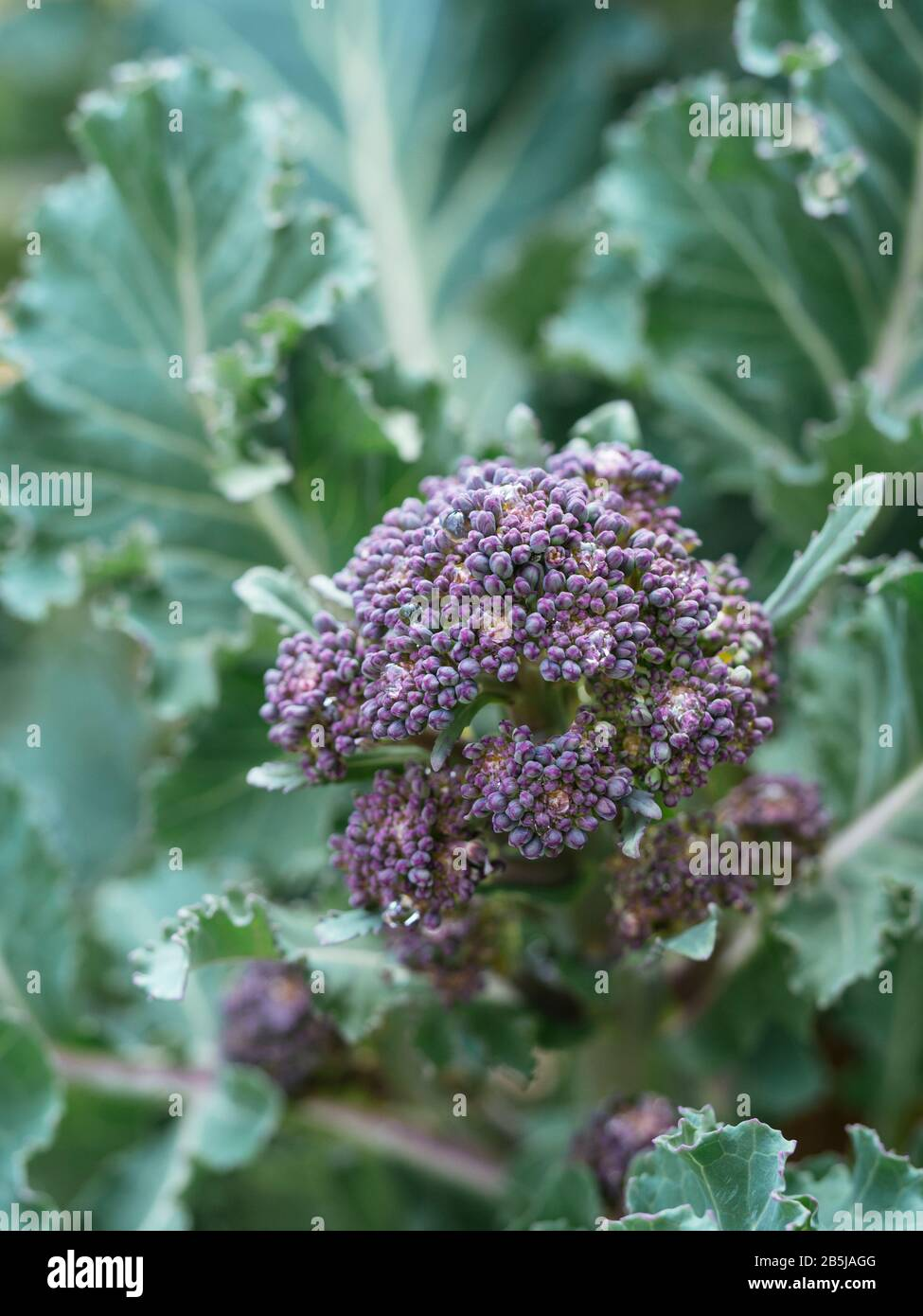 Early Purple Sprouting Broccoli growing in a vegetable garden in March. Stock Photo