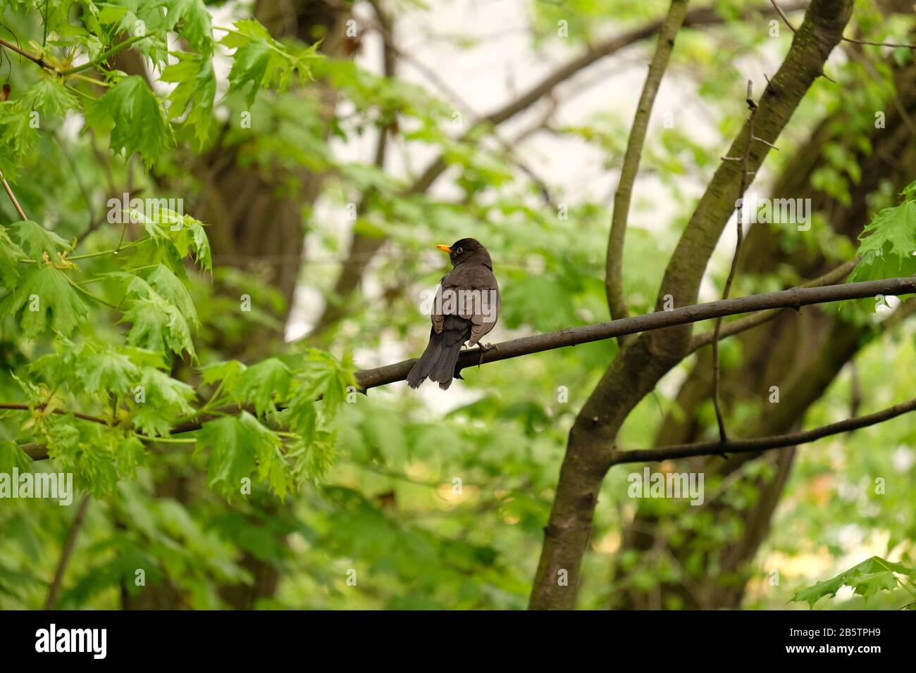 Common blackbird (Turdus merula) from behind head turned profile, on a branch amongst new green spring foliage, Letna park;  Prague Czechia Stock Photo