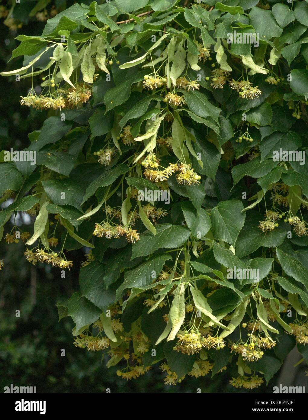 Flowers in South-west France.Large-leaved Lime Tree (Tilia platyphyllos) in flower and with developing fruits on their bracts. Stock Photo