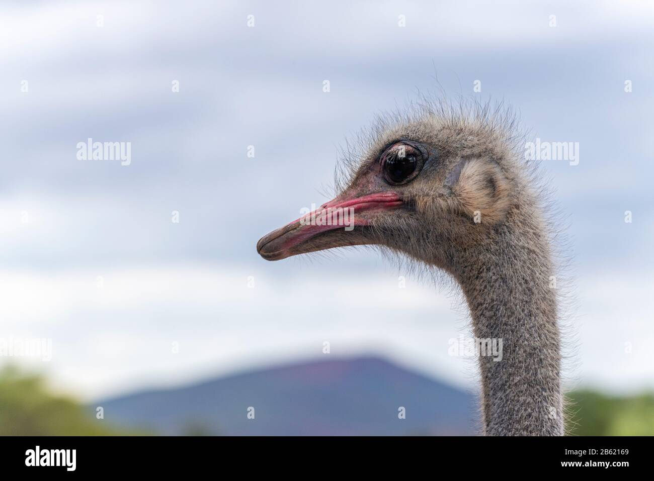 Close-up of ostrich head and neck - Garden Route, Oudtshoorn, Western Cape Province, South Africa Stock Photo