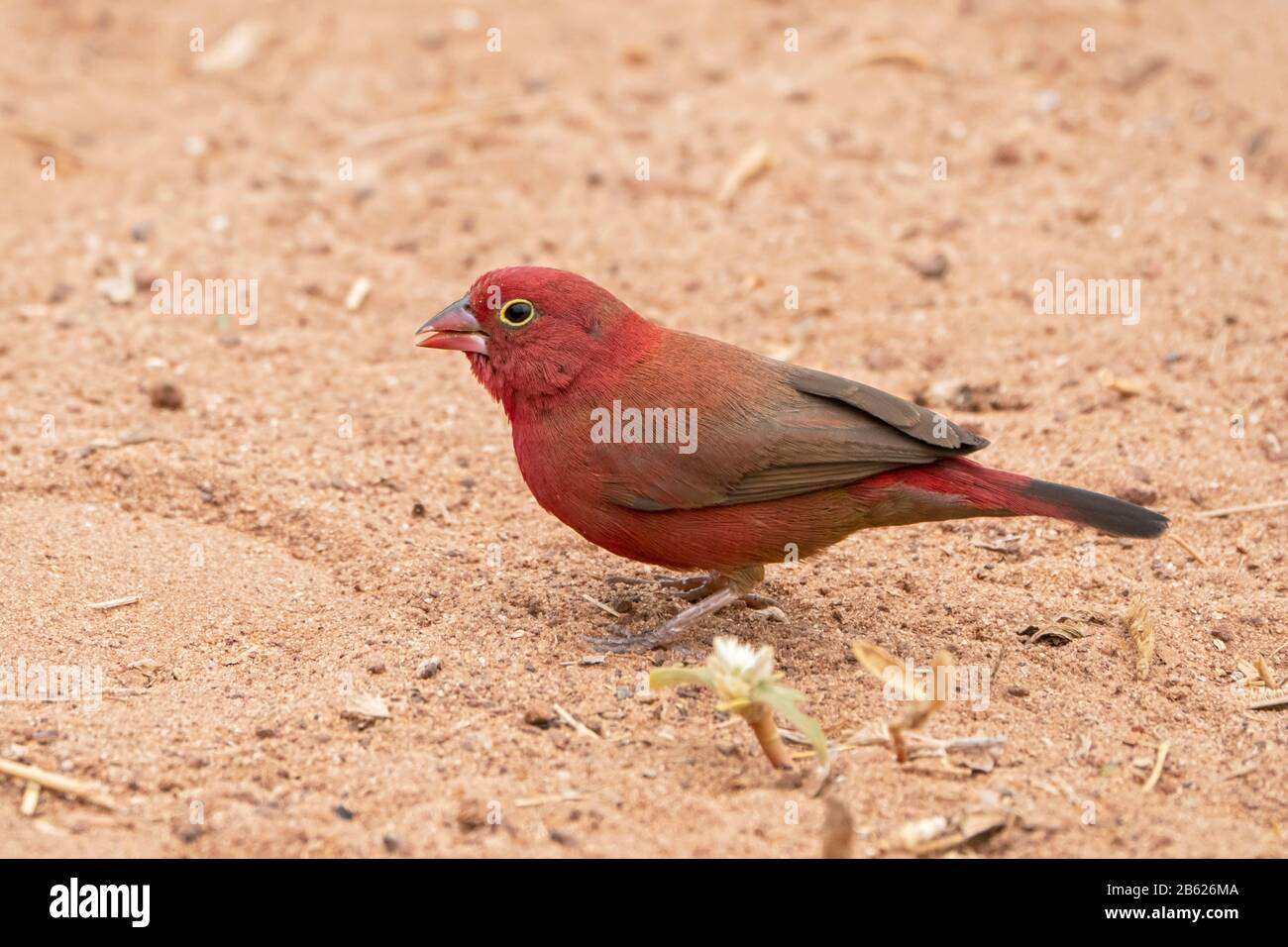 red-billed firefinch, Lagonosticta senegala, adult male standing on ground, Gambia Stock Photo