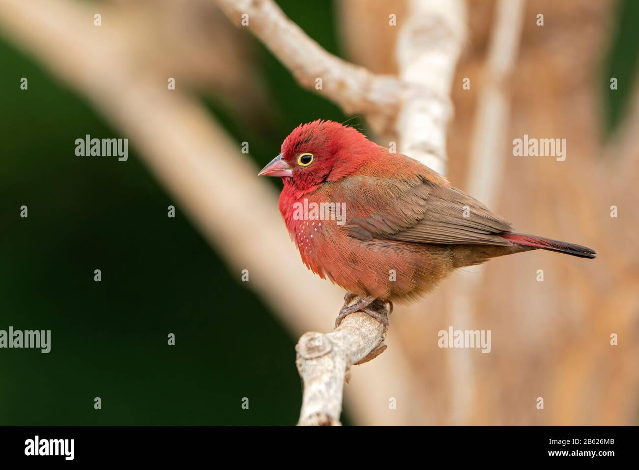 red-billed firefinch, Lagonosticta senegala, adult male perched on tree branch, Gambia Stock Photo