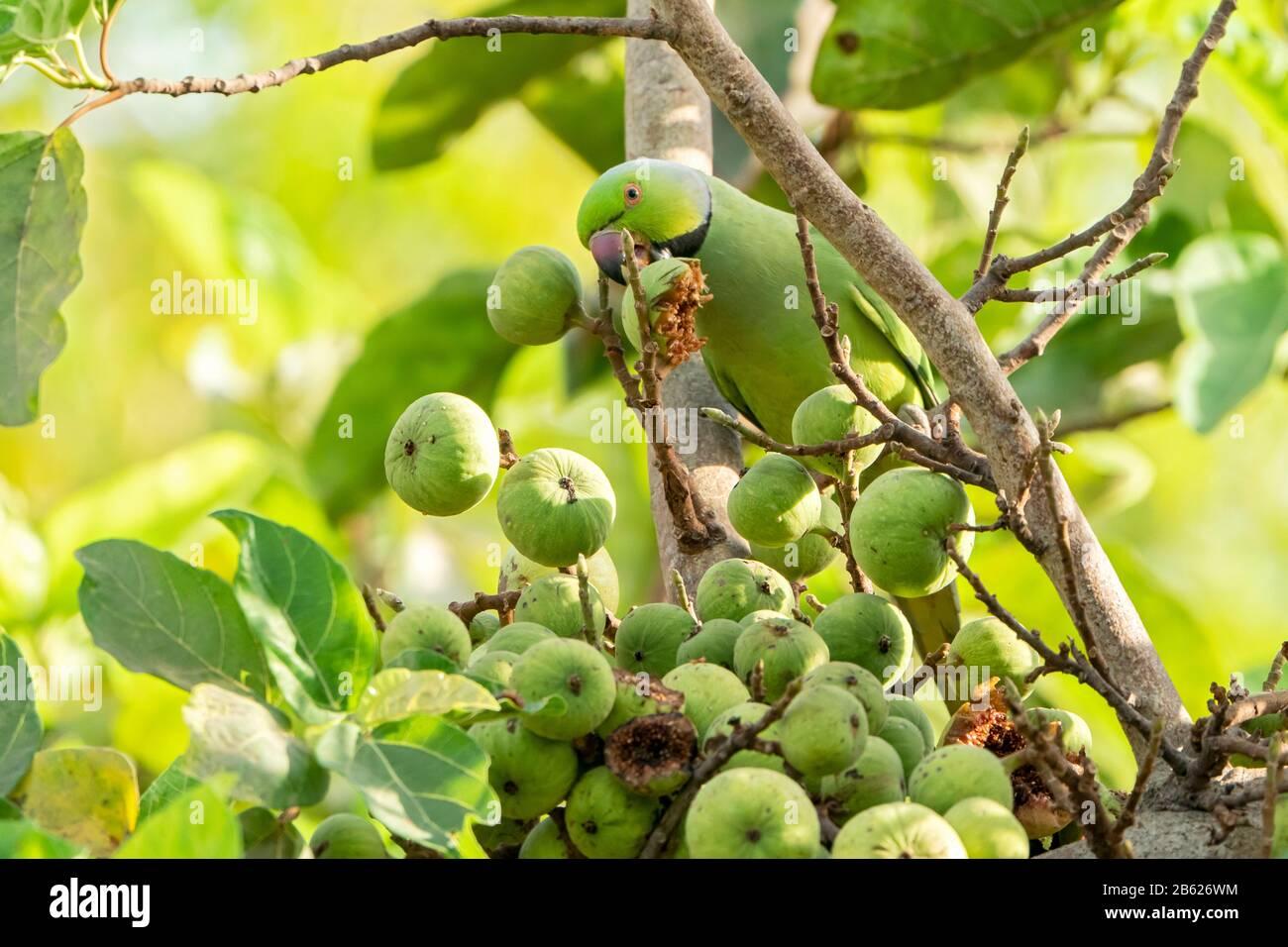 ring-necked parakeet or rose-ringed parakeet, Psittacula krameri, adult feeding on figs, Gambia Stock Photo