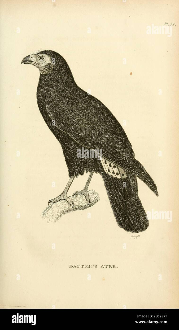 Black Caracara Daptrius Ater Is A Species Of Bird Of Prey In The Falconidae Family Found
