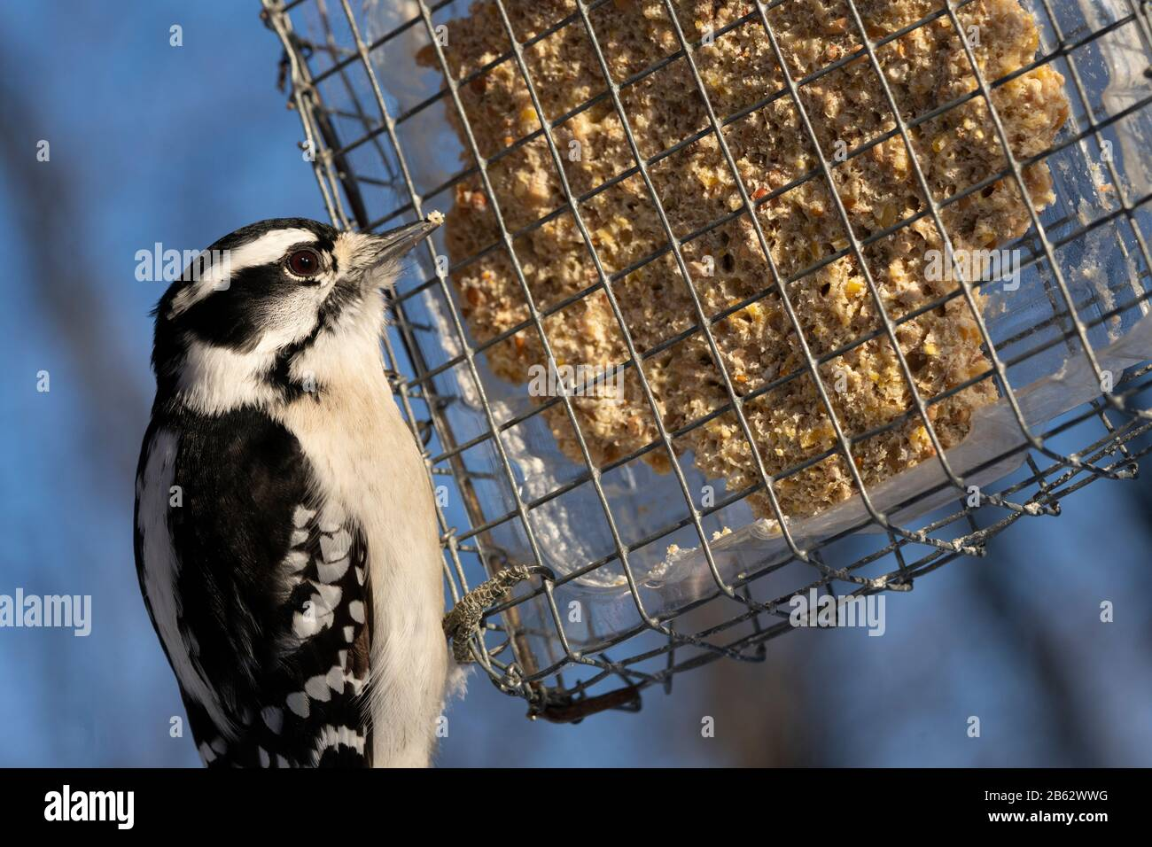 Woodpecker eating at bird feeder during winter Stock Photo