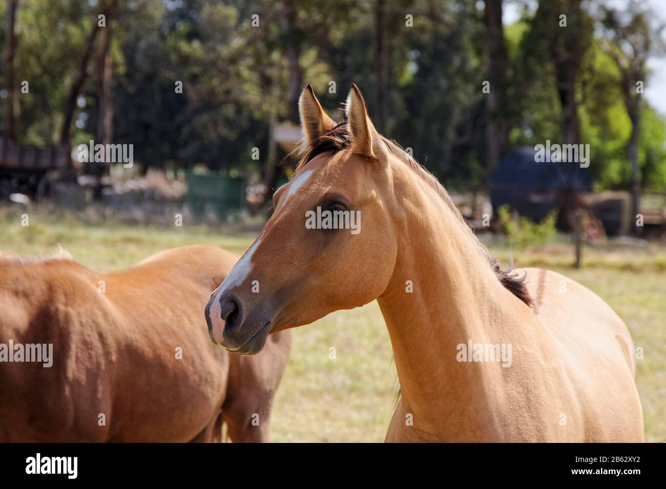 Light Brown Horse High Resolution Stock Photography And Images Alamy