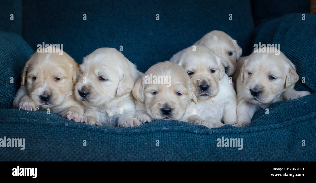 Portrait Of A Litter Of An Adorable Golden Retriever Puppies Or Babies In A Blue Background Stock Photo Alamy