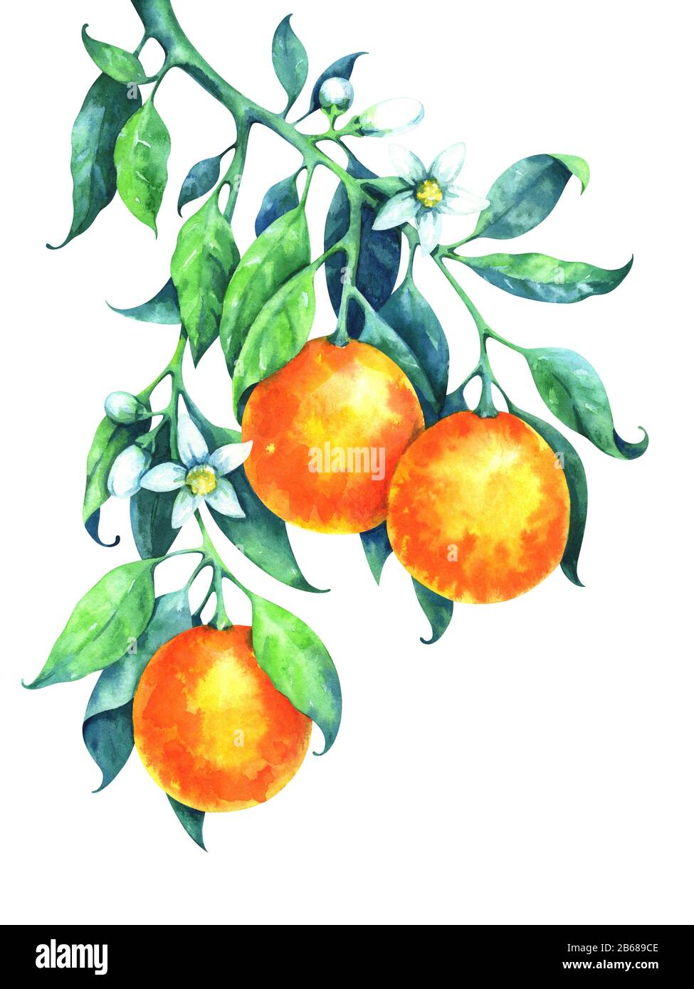Hand Painted Watercolor Orange Branch Stock Photo Alamy