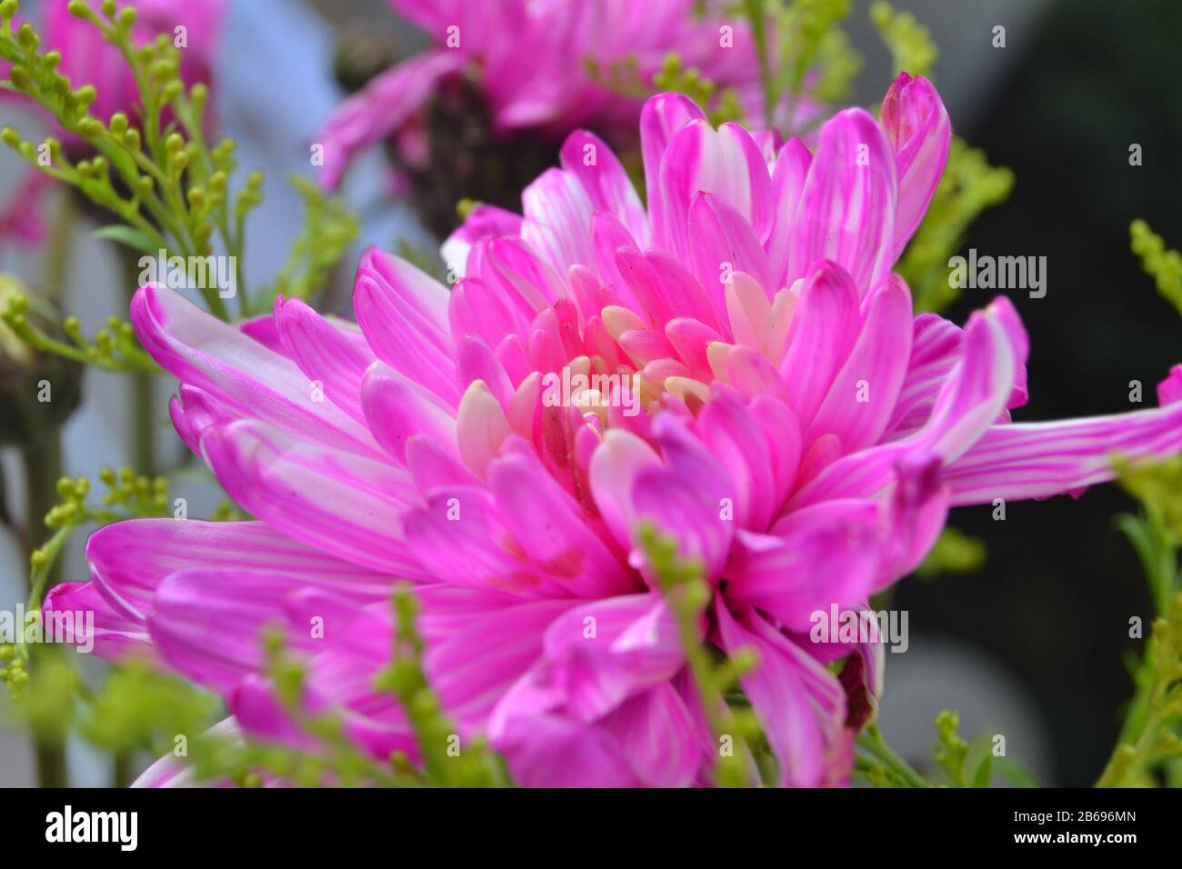 Chrysanthemums sometimes called mums or chrysanths Stock Photo