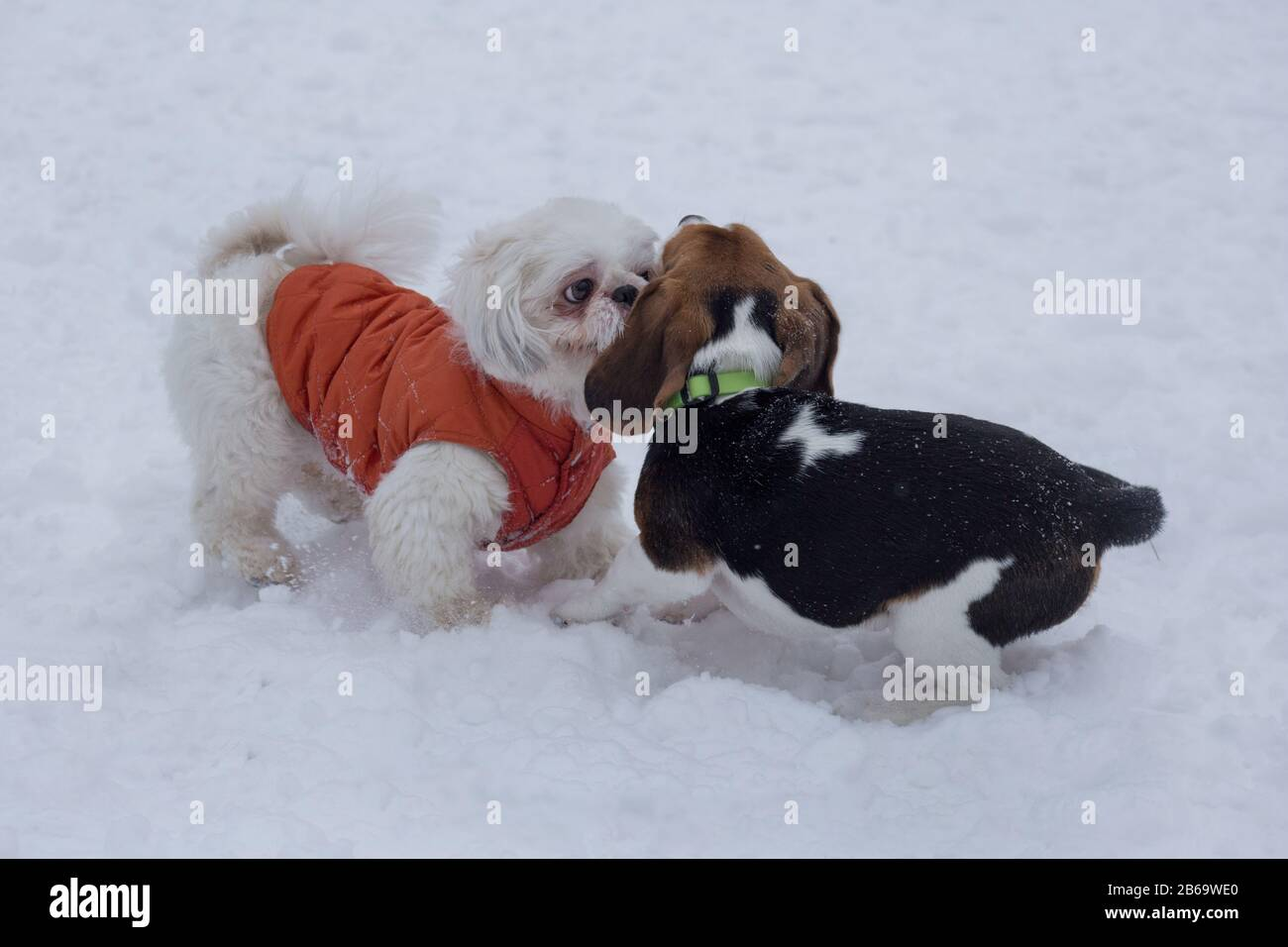 Shih Tzu Puppy And English Beagle Puppy Are Playing On A White Snow In The Winter Park Pet Animals Stock Photo Alamy