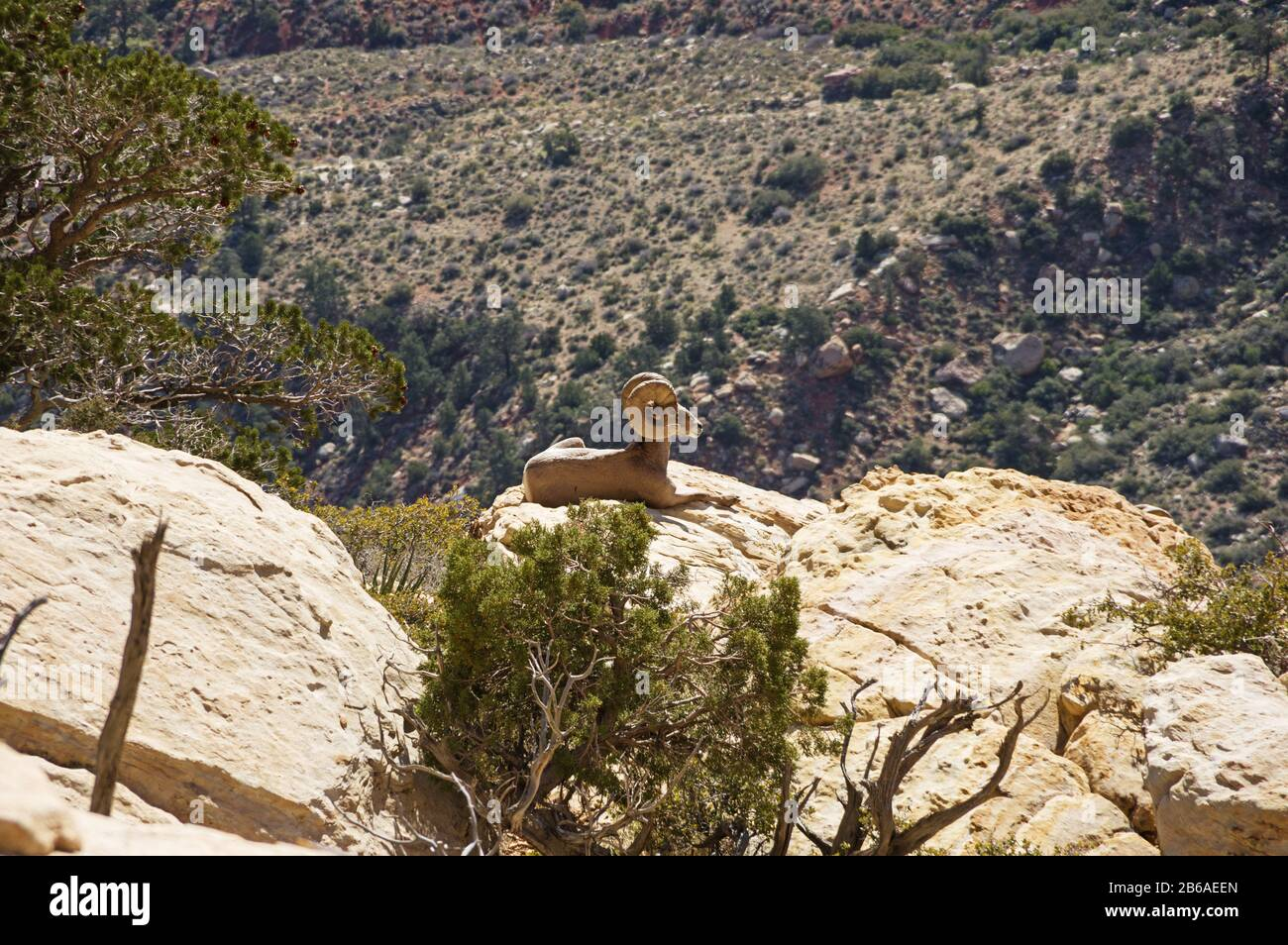 Desert Bighorn Sheep Or Ovis Canadensis On A Ledge Of Rainbow Mountain In Red Rock Canyon National Conservation Area Near Las Vegas Nevada Stock Photo Alamy