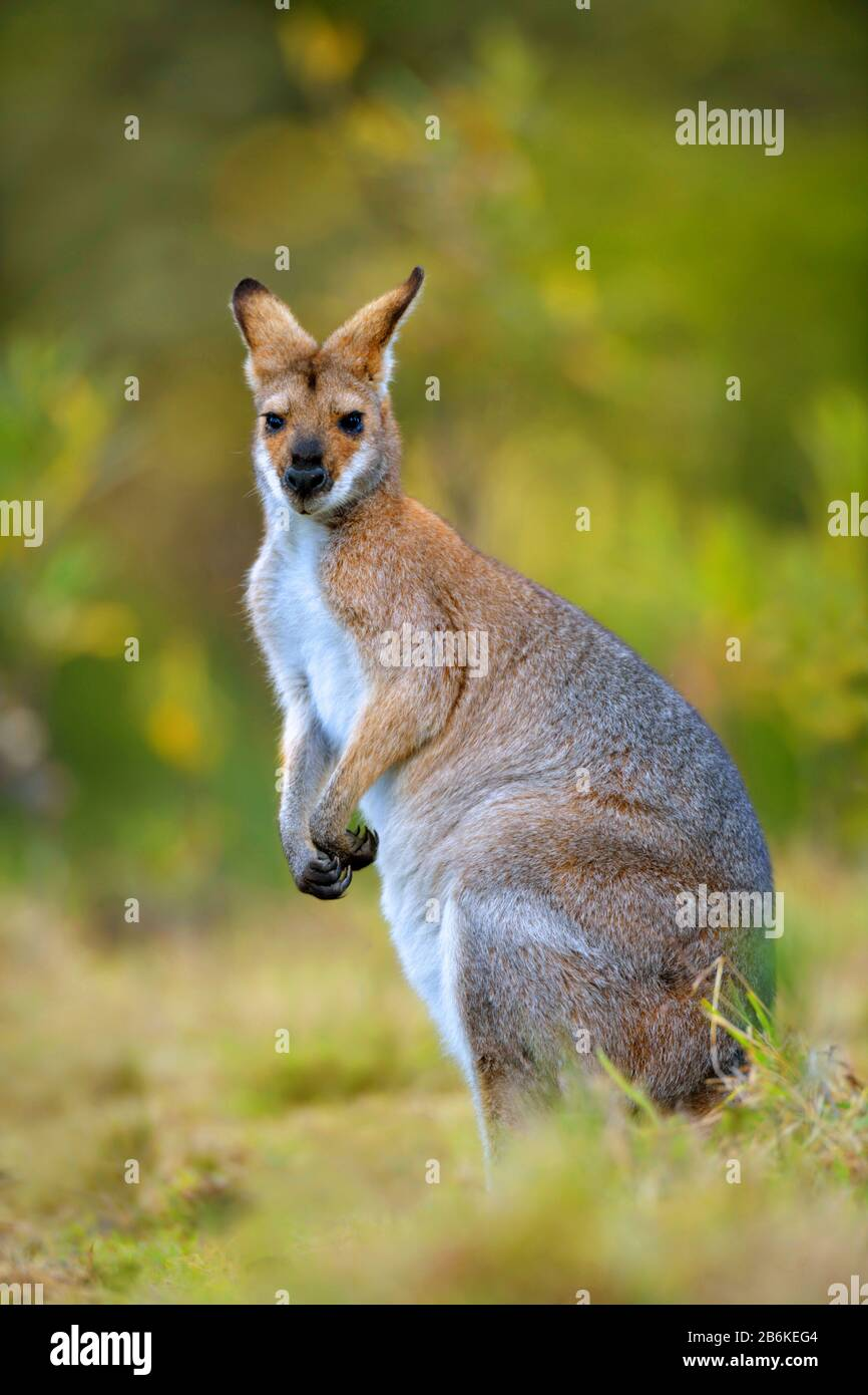 Red-necked wallaby, Bennett´s Wallaby (Macropus rufogriseus, Wallabia rufogrisea), sitting in  a meadow, Australia Stock Photo