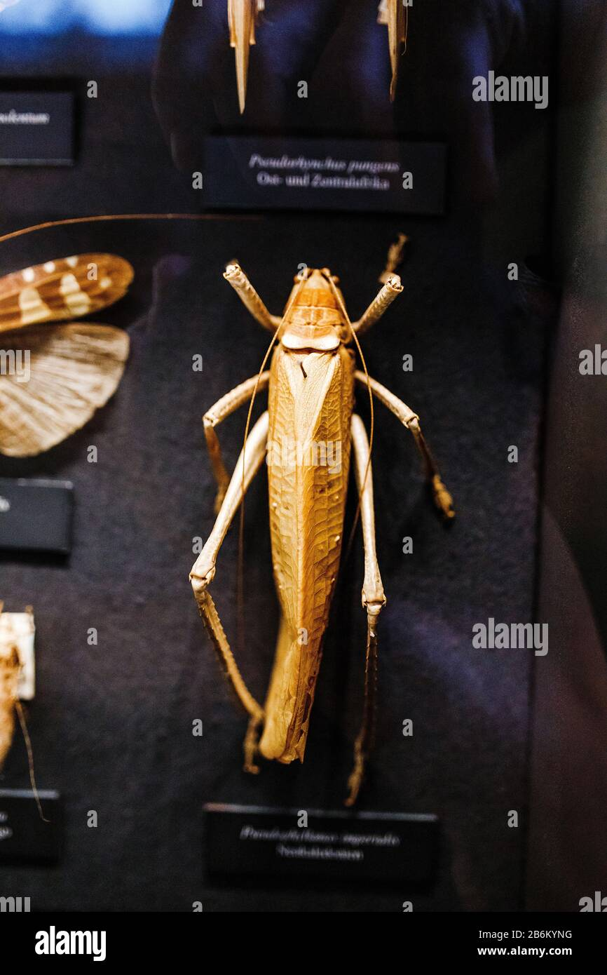 24 MARCH 2017, VIENNA, MUSEUM OF NATURAL HISTORY, AUSTRIA: Locust dummy in museum of biology Stock Photo