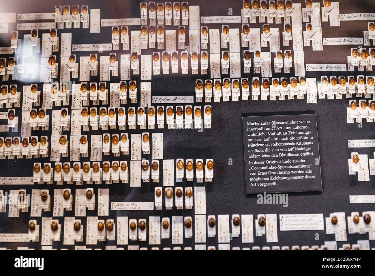 24 MARCH 2017, VIENNA, MUSEUM OF NATURAL HISTORY, AUSTRIA: Ladybugs ladybird beetles collection in museum Stock Photo