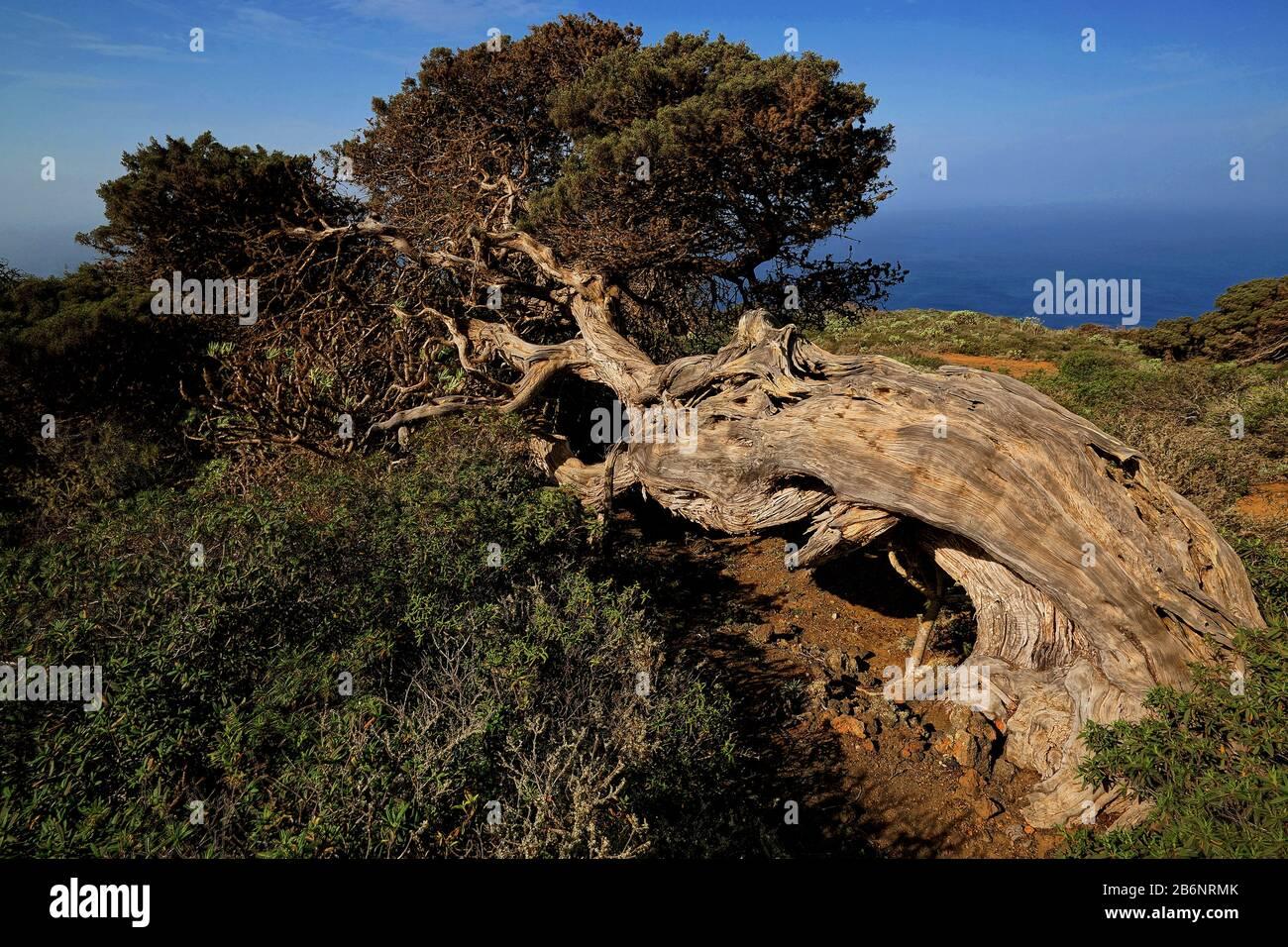 Kanarische Inseln, El Hierro, Wacholderbaum, Stock Photo