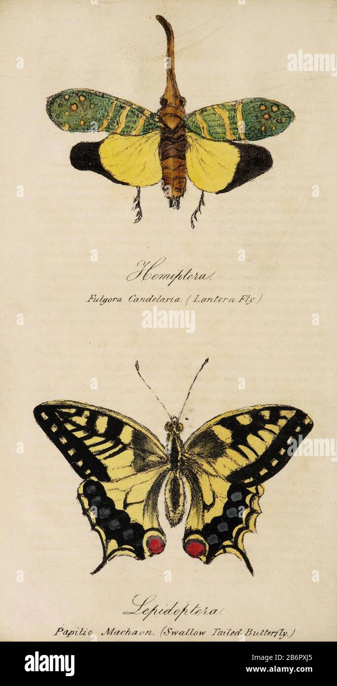 Hand painted print of insects from 'Lectures on Entomology' by John Barlow Burton Published in London in 1837 by Simpkin and Marshall Stock Photo