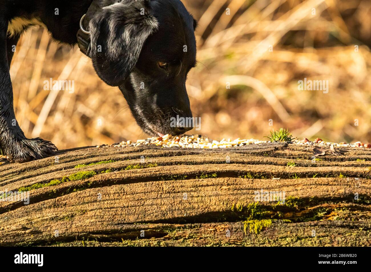 A Black Labrador Dog Eating Bird Seed Off An Old Log Seed Put Out To Feed The Birds And The Dog Forages For Free Food Stock Photo Alamy