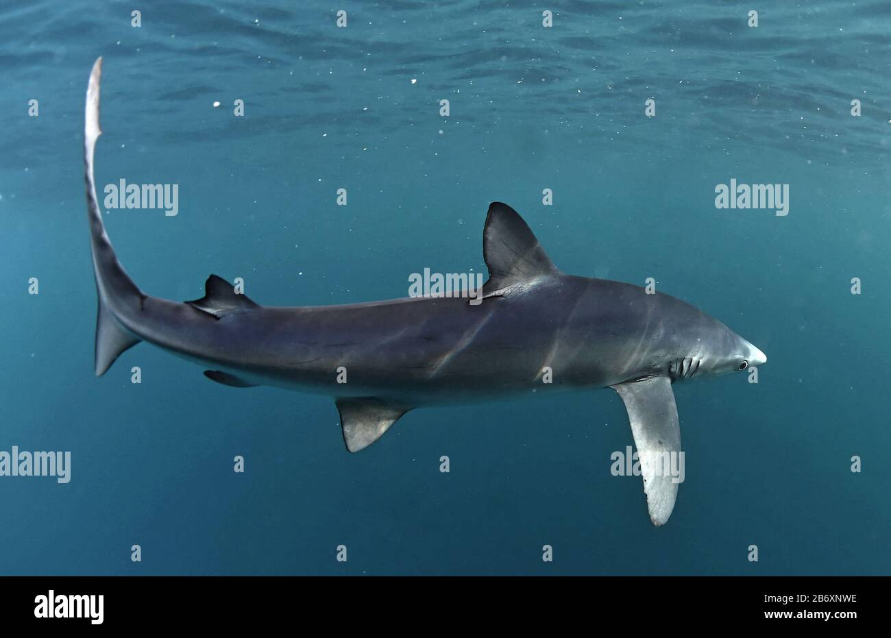 Blue shark swimming in the blue. Scientific name: Prionace glauca.  Natural habitat. South Africa. Stock Photo