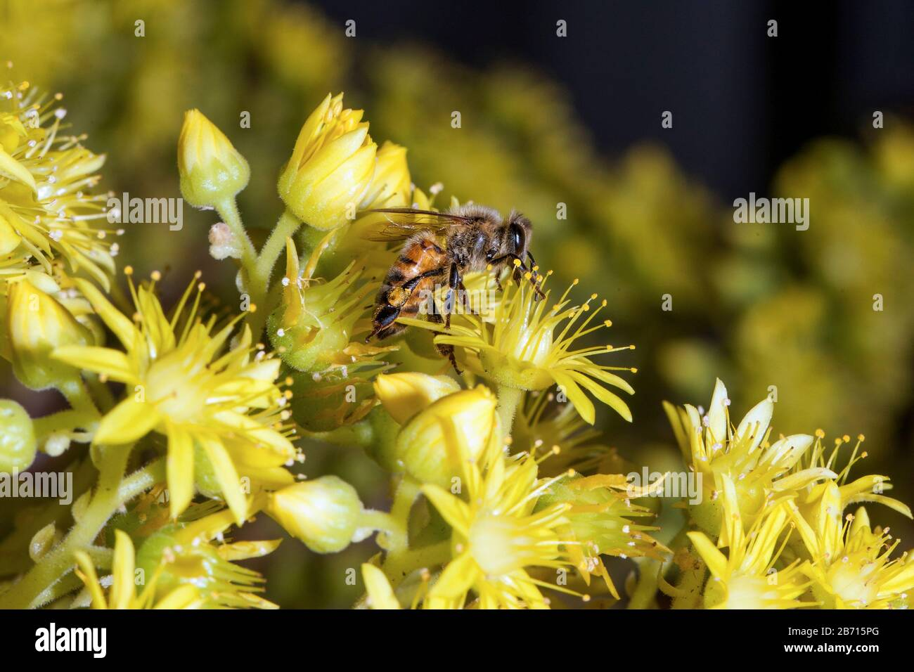 Honey bumblebee collecting pollen on yellow agave flower macro close-up Stock Photo