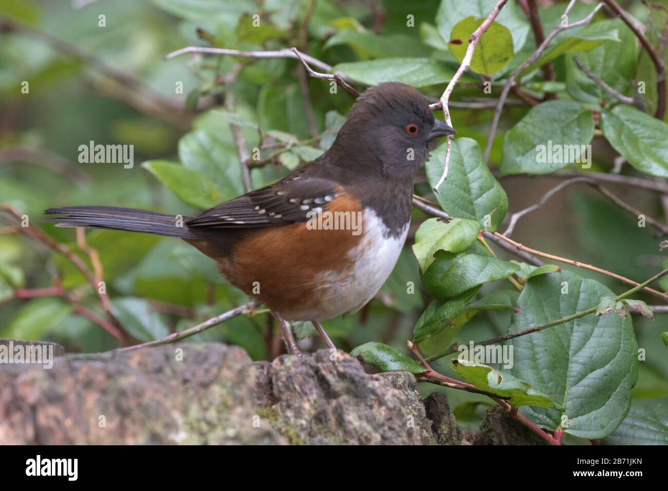 Colorful russet hues of spotted towhee enliven Fidalgo Island in Padilla Bay of Washington state Stock Photo