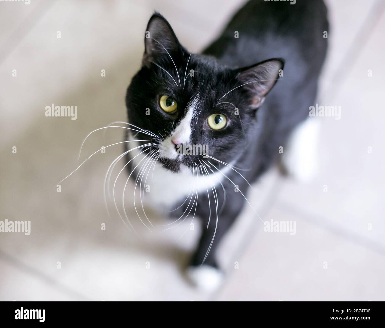 A Black And White Tuxedo Domestic Shorthair Cat With Long Whiskers Looking Up At The Camera Stock Photo Alamy