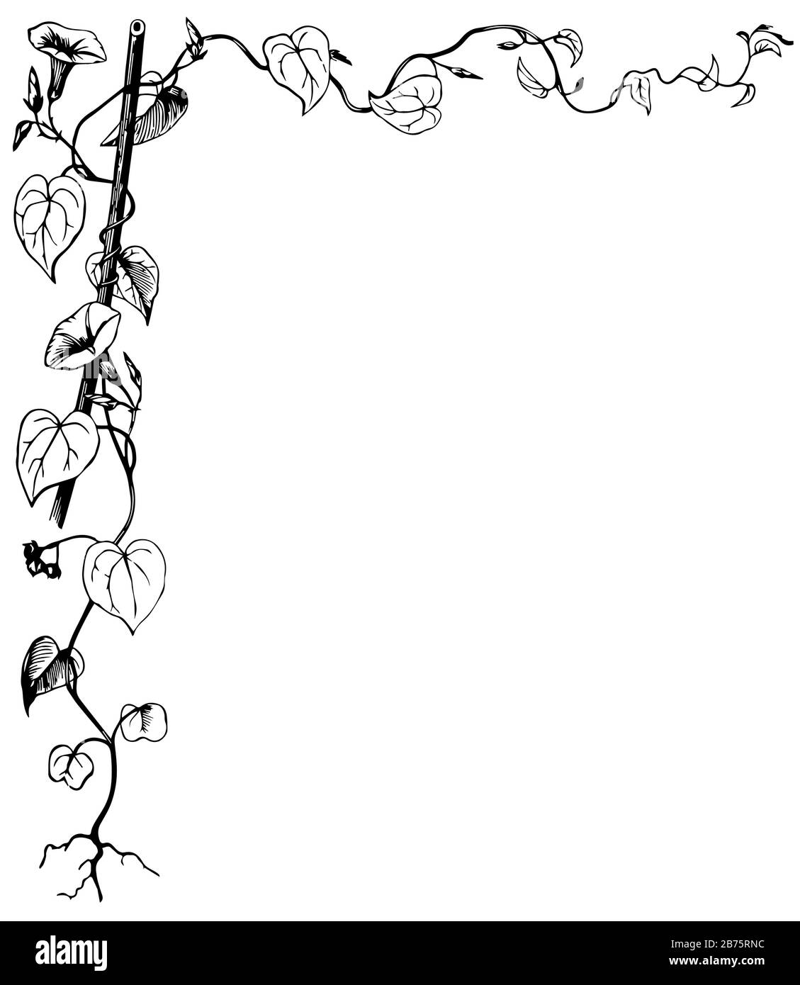 Morning Glory Have Leaves Vine In This Border Vintage Line Drawing Or Engraving Illustration Stock Vector Image Art Alamy