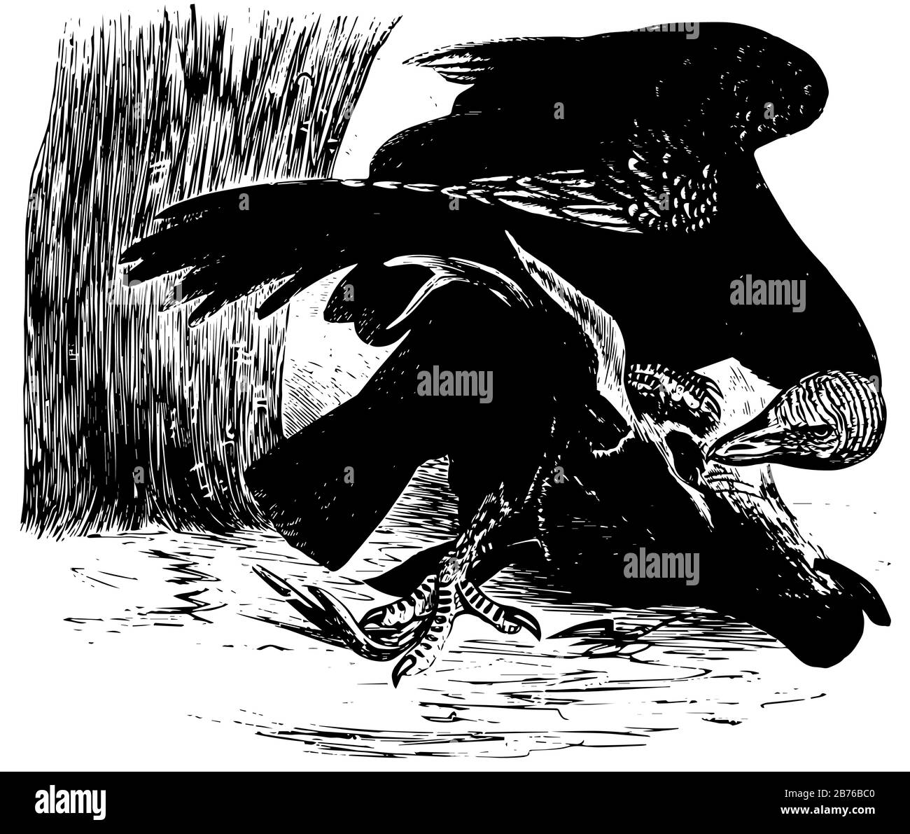 Black Vulture about the size of a small turkey, vintage line drawing or engraving illustration. Stock Vector