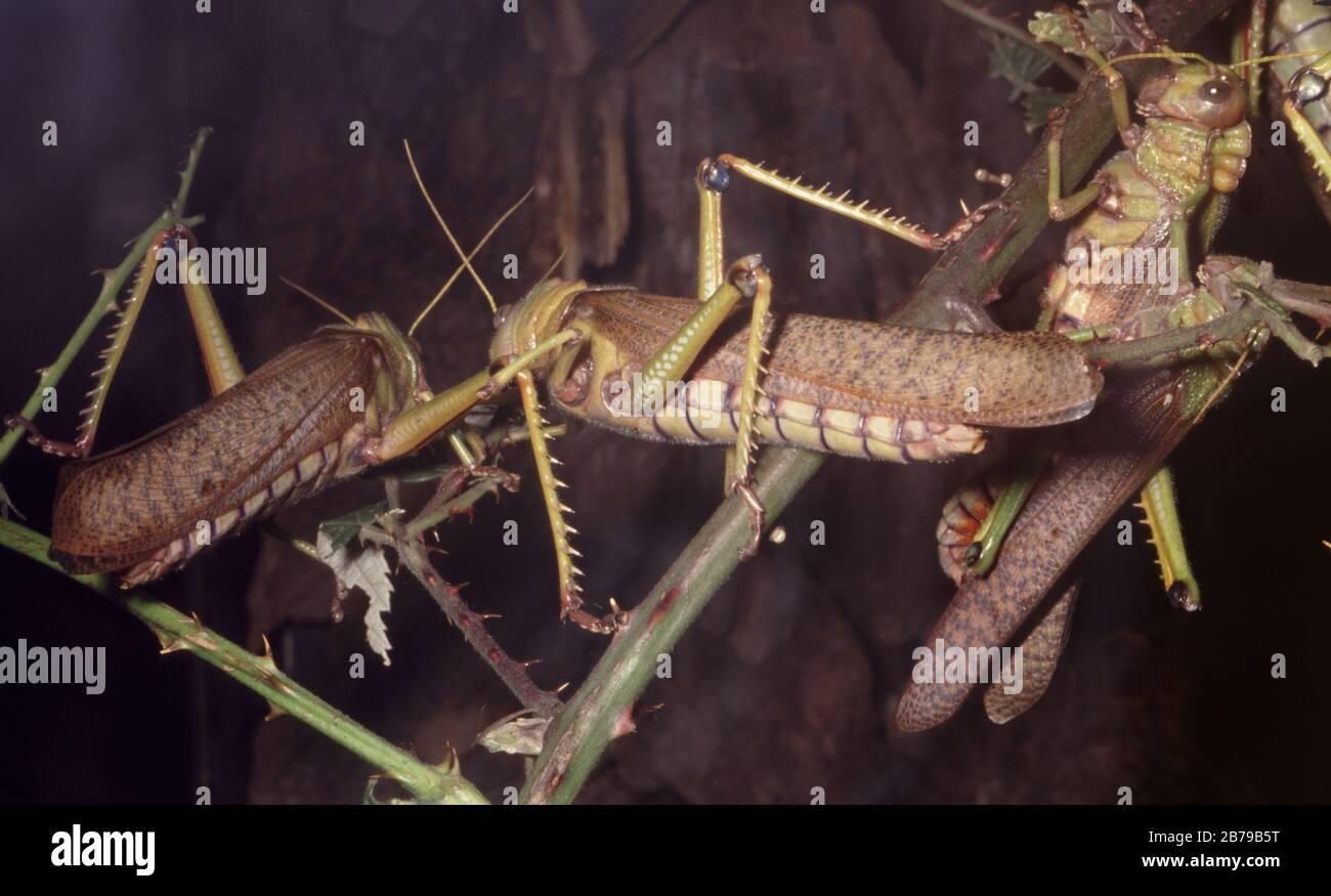 Locust, Locusta migratoria Stock Photo