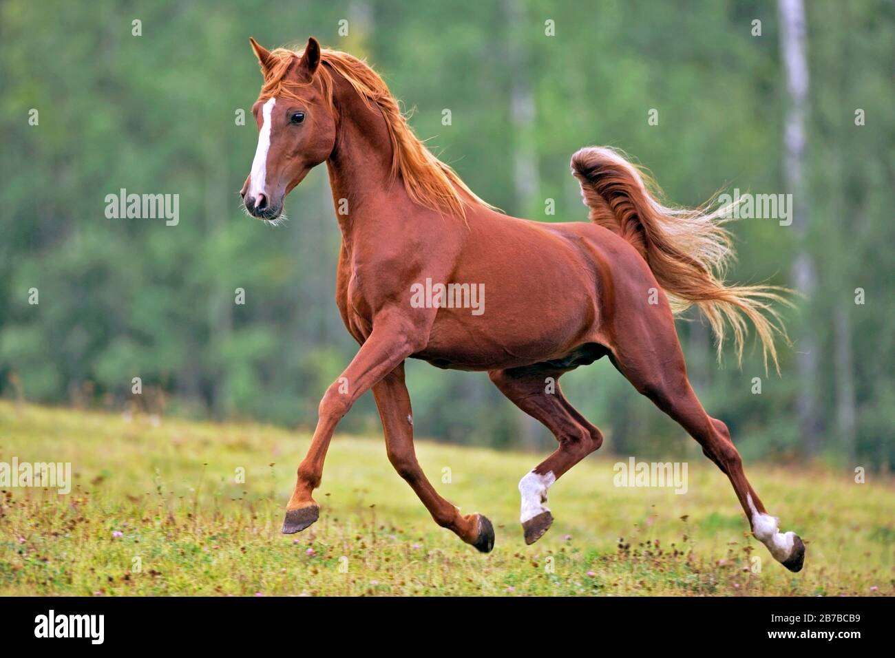 Beautiful Chestnut Arabian Stallion Running On Meadow Showing Off Stock Photo Alamy