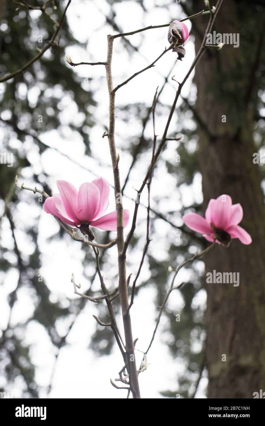 Magnolia campbellii 'Charles Raffill'. Stock Photo