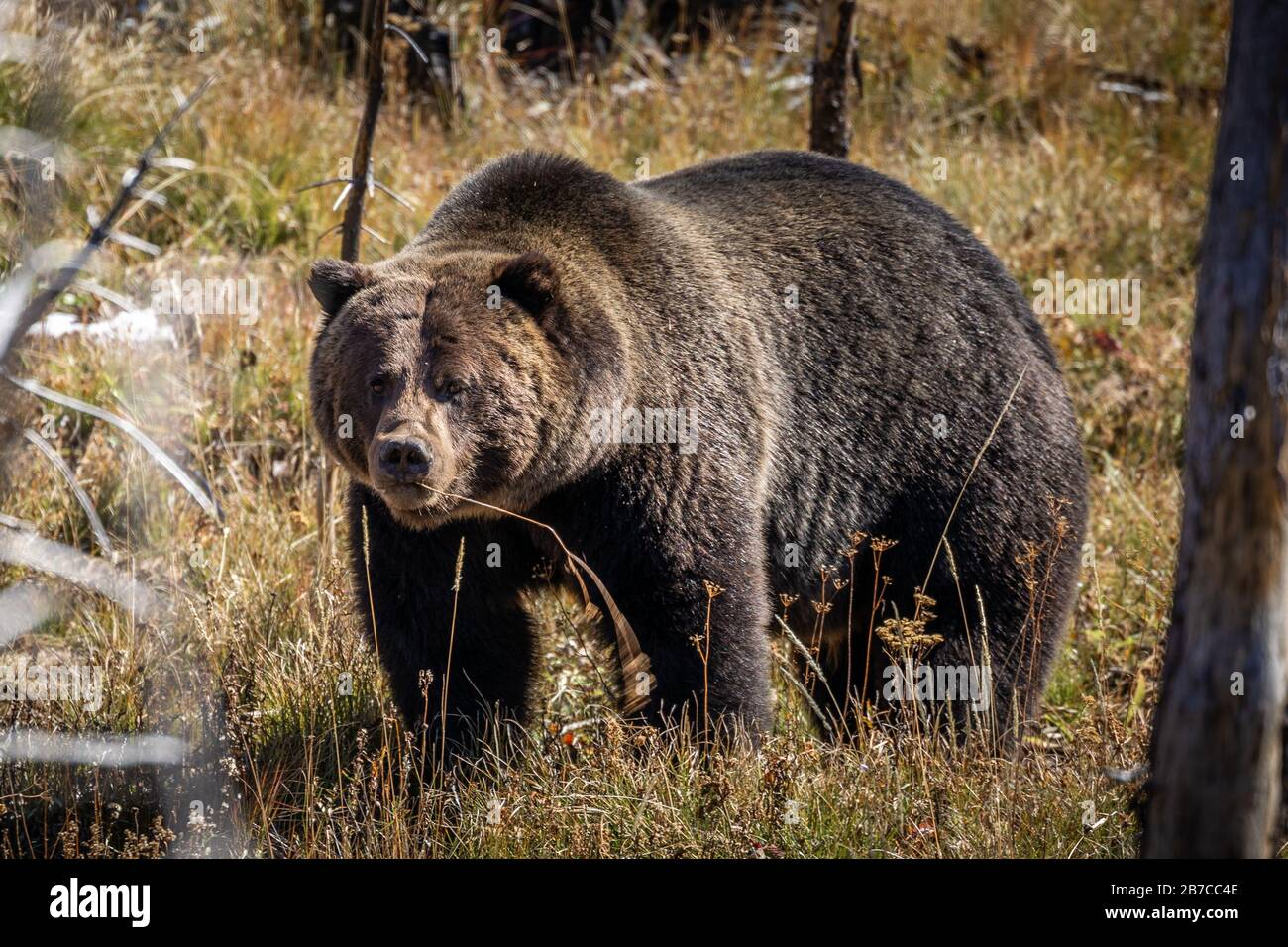 Full body portrait of grizzly bear standing and finding some food on floor, field covered by brown grass during autumn in Yellowstone National Park, W Stock Photo
