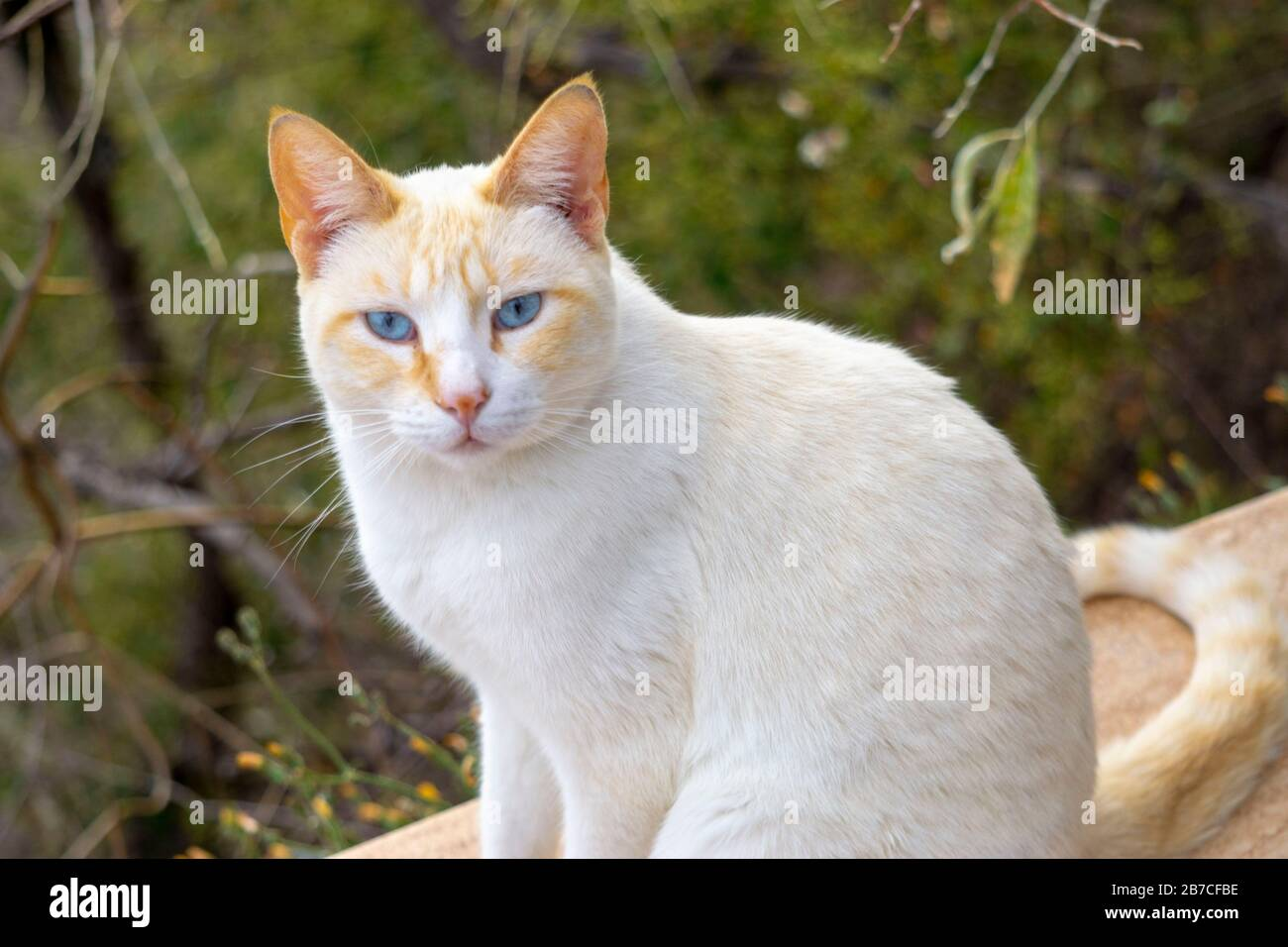 White Siamese Cat High Resolution Stock Photography And Images Alamy