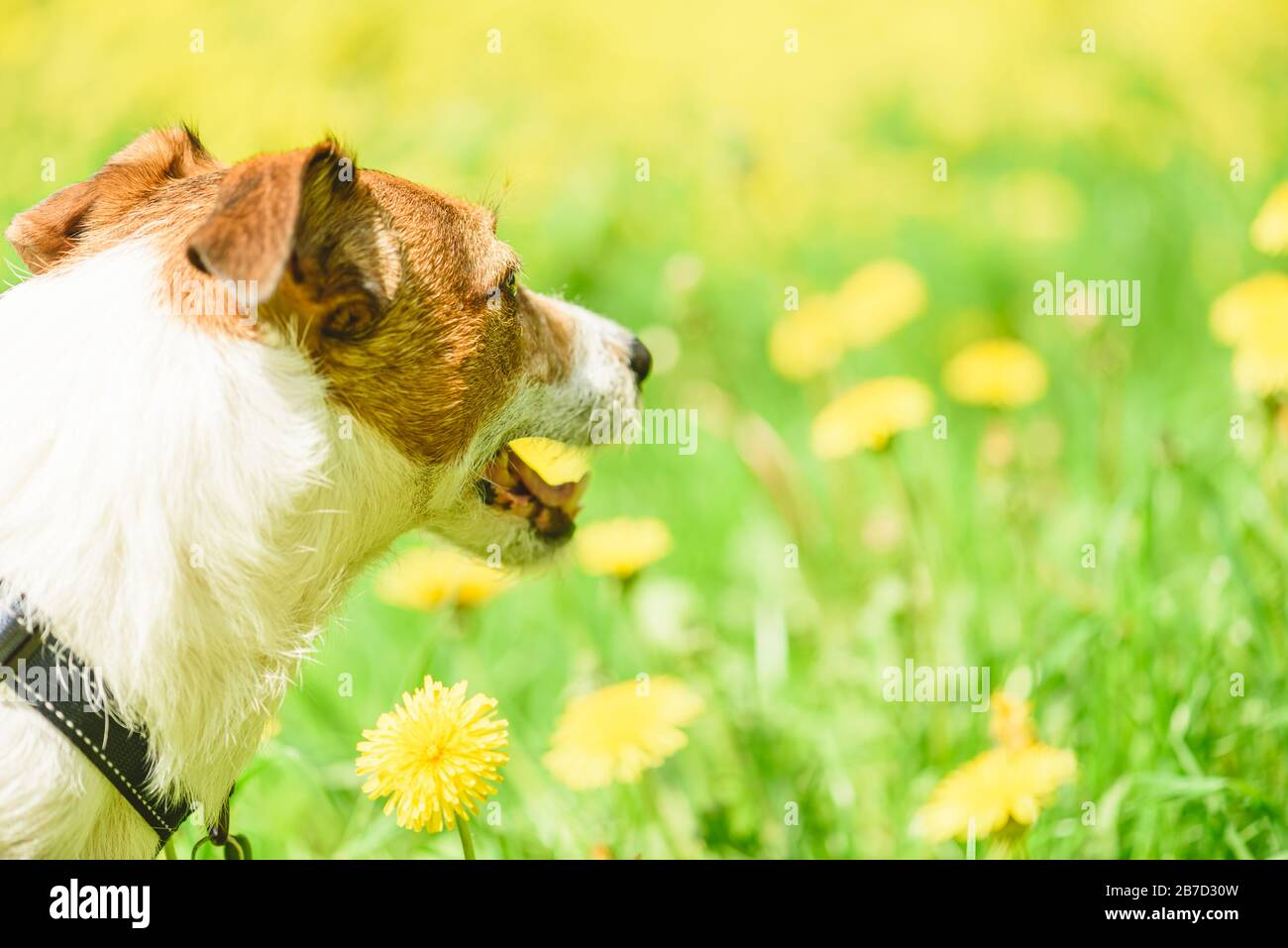 Jack Russell Terrier dog looking at yellow meadow with blossoming dandelion flowers Stock Photo