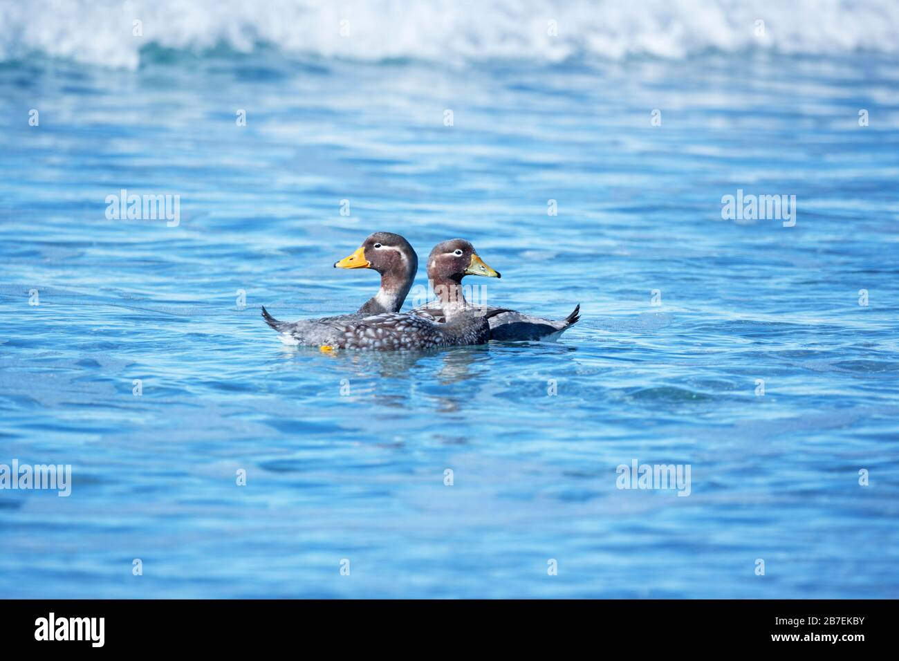 Steamer ducks swimming (Tachyeres brachypterus), Falkland Islands, South America Stock Photo