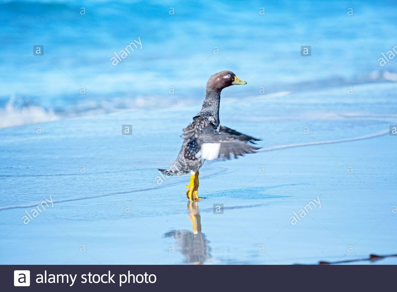 Steamer duck (Tachyeres brachypterus), Falkland Islands, South America Stock Photo