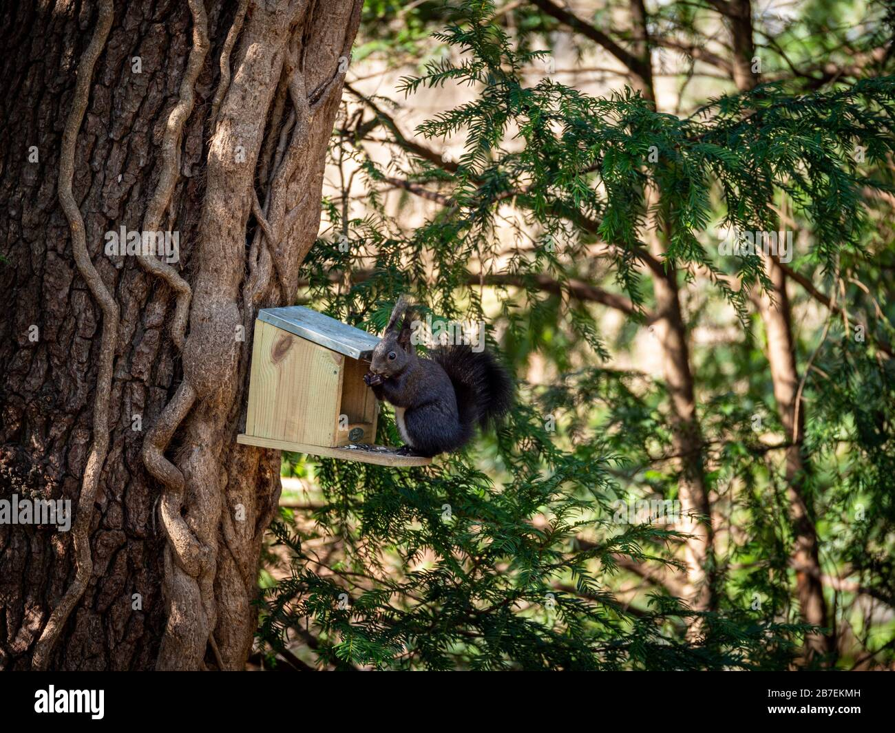 Cute little dark grey squirrel on birs's feeding place eating seeds Stock Photo