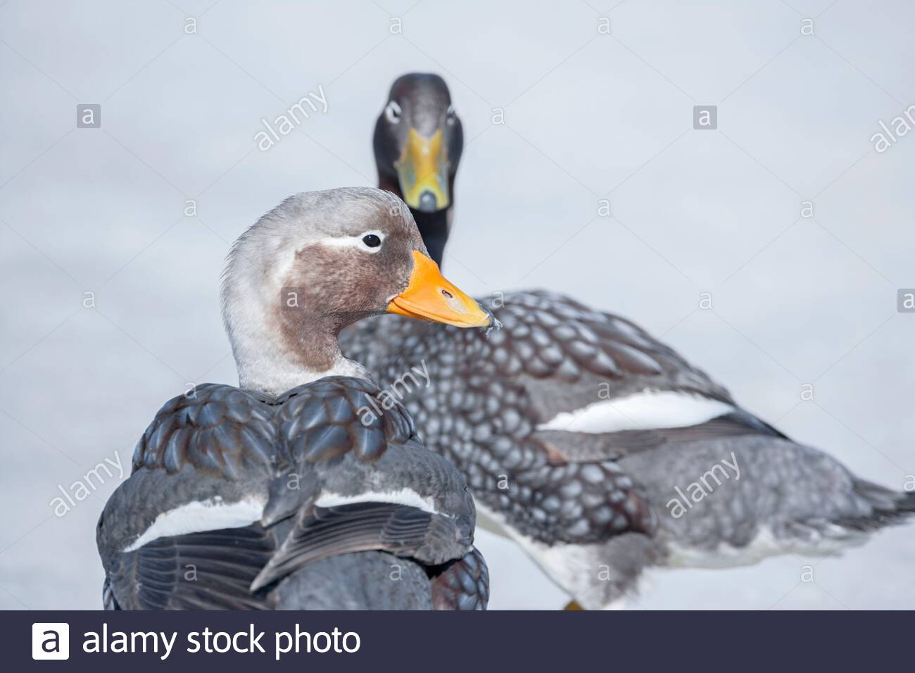 Steamer ducks (Tachyeres brachypterus), Falkland Islands, South America Stock Photo